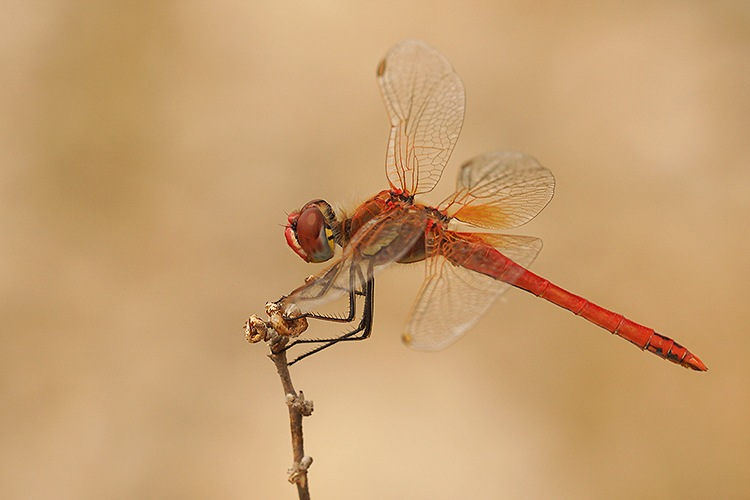 Sympetrum fonscolombii, male by Henk Wallays