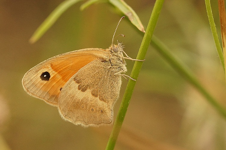 Coenonympha pamphilus, Rousson by Henk Wallays