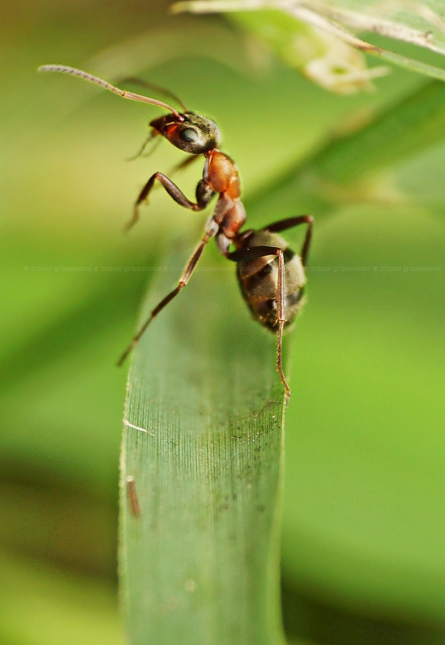 Ant  by Zoltán Grünvald
