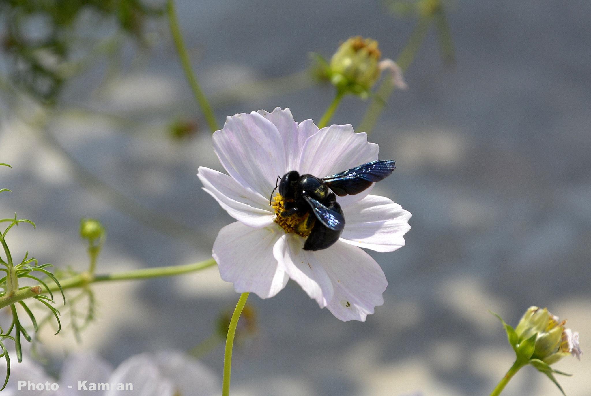 Black bee by kamran