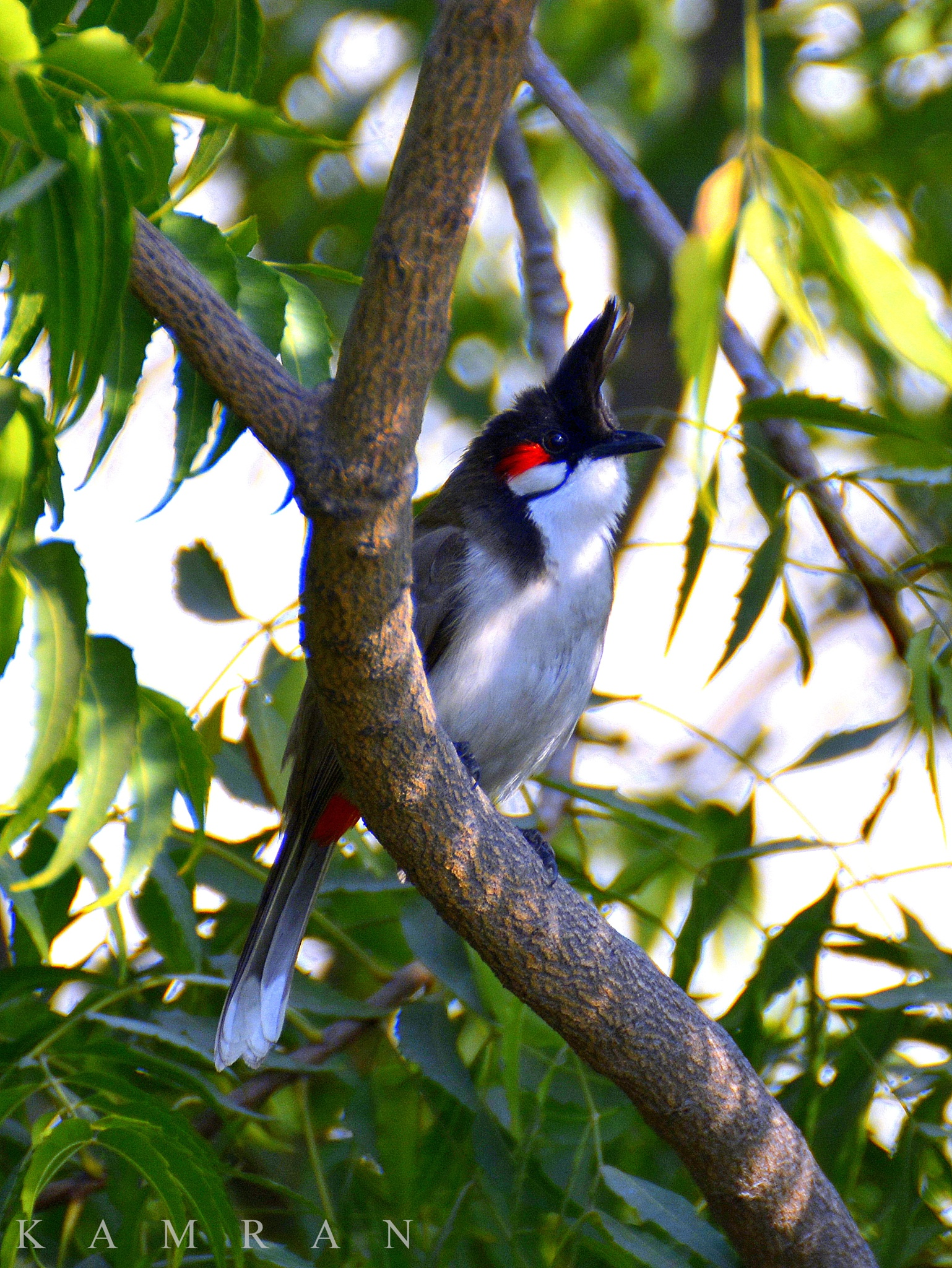 Red whiskered Bulbul by kamran