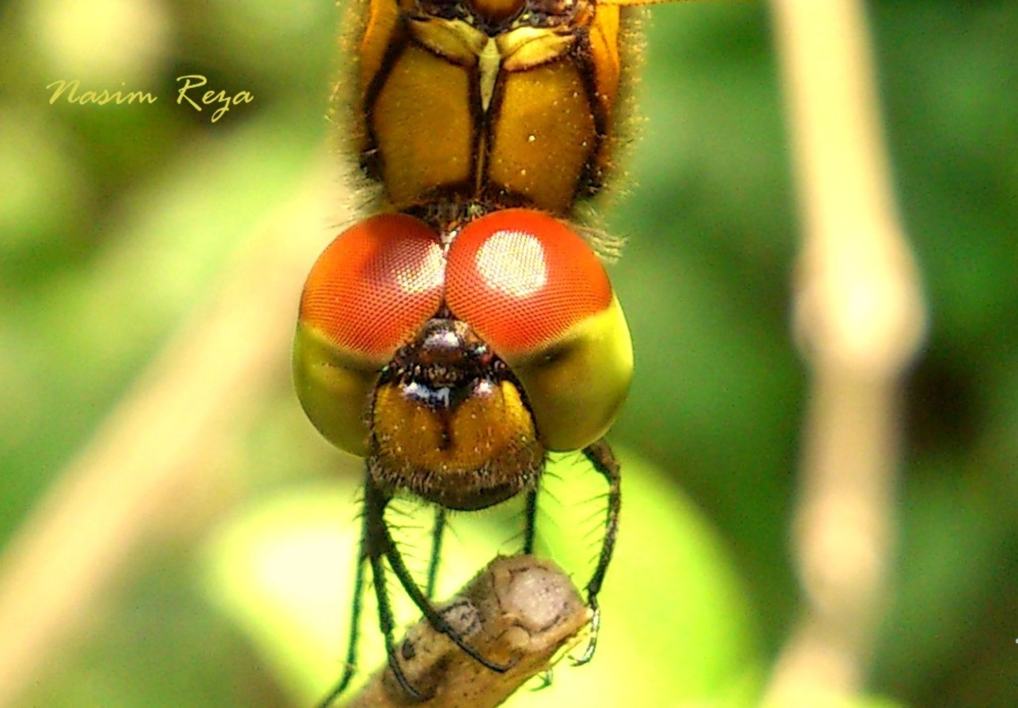 Macro of dragonfly. by Nasim Reza