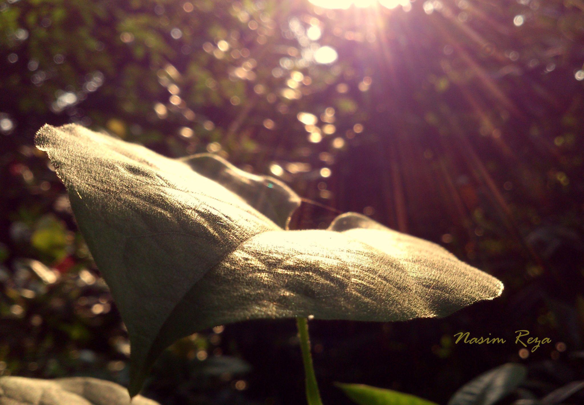 Sun ray on leaf. by Nasim Reza