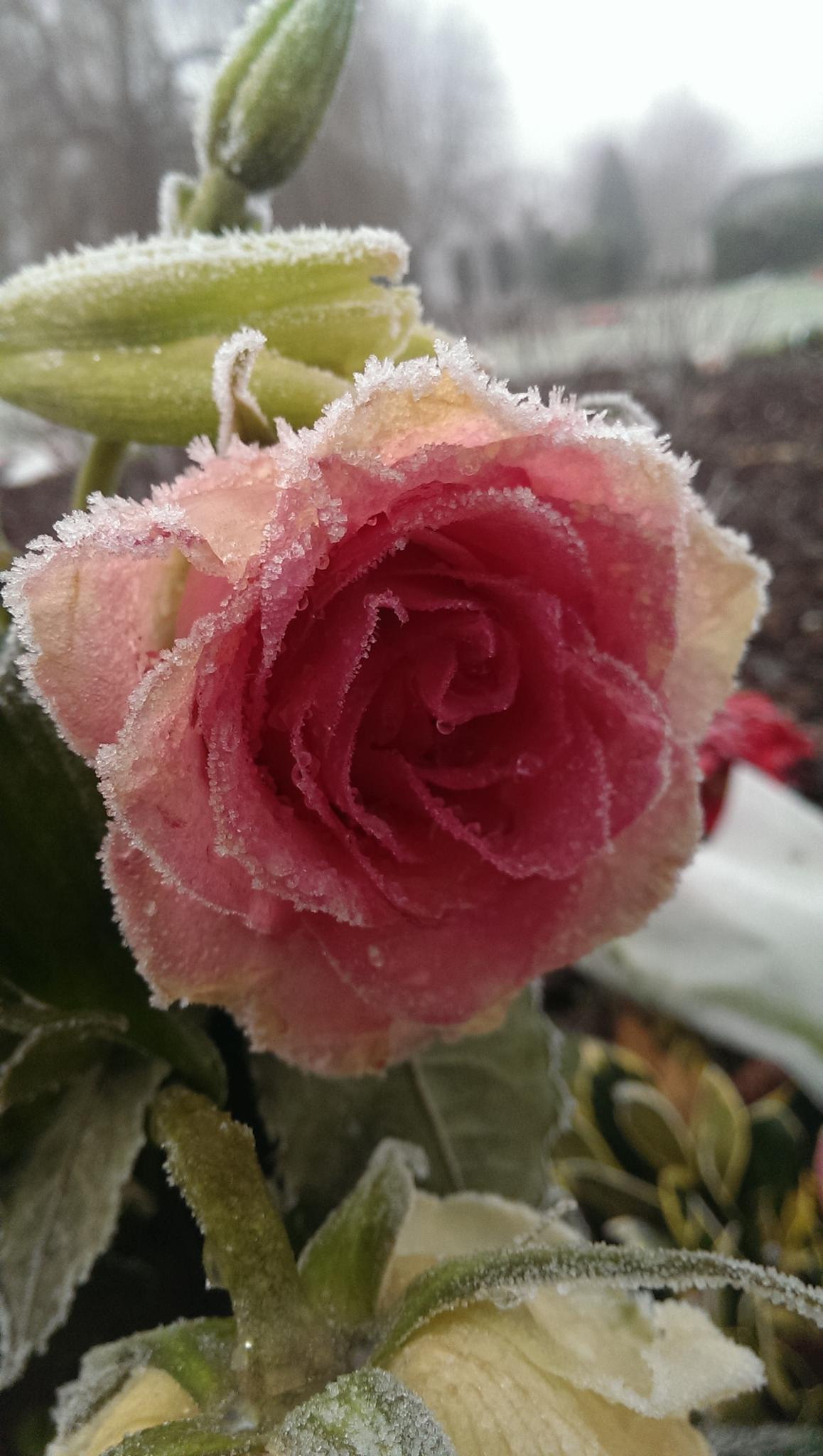 Frozen rose by Nige Photography