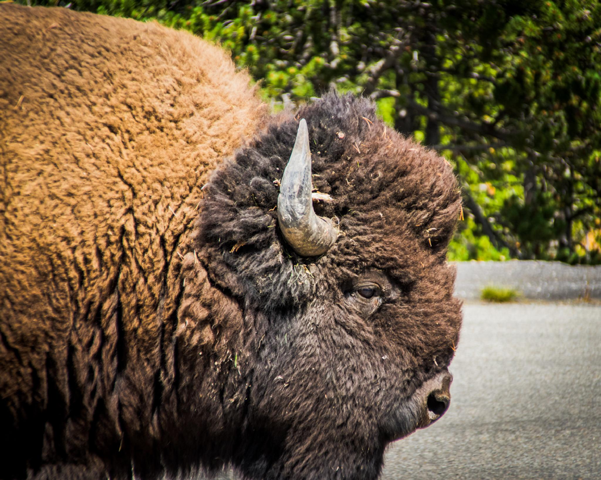 Bison in Yellowstone National park by BSRsPhotography