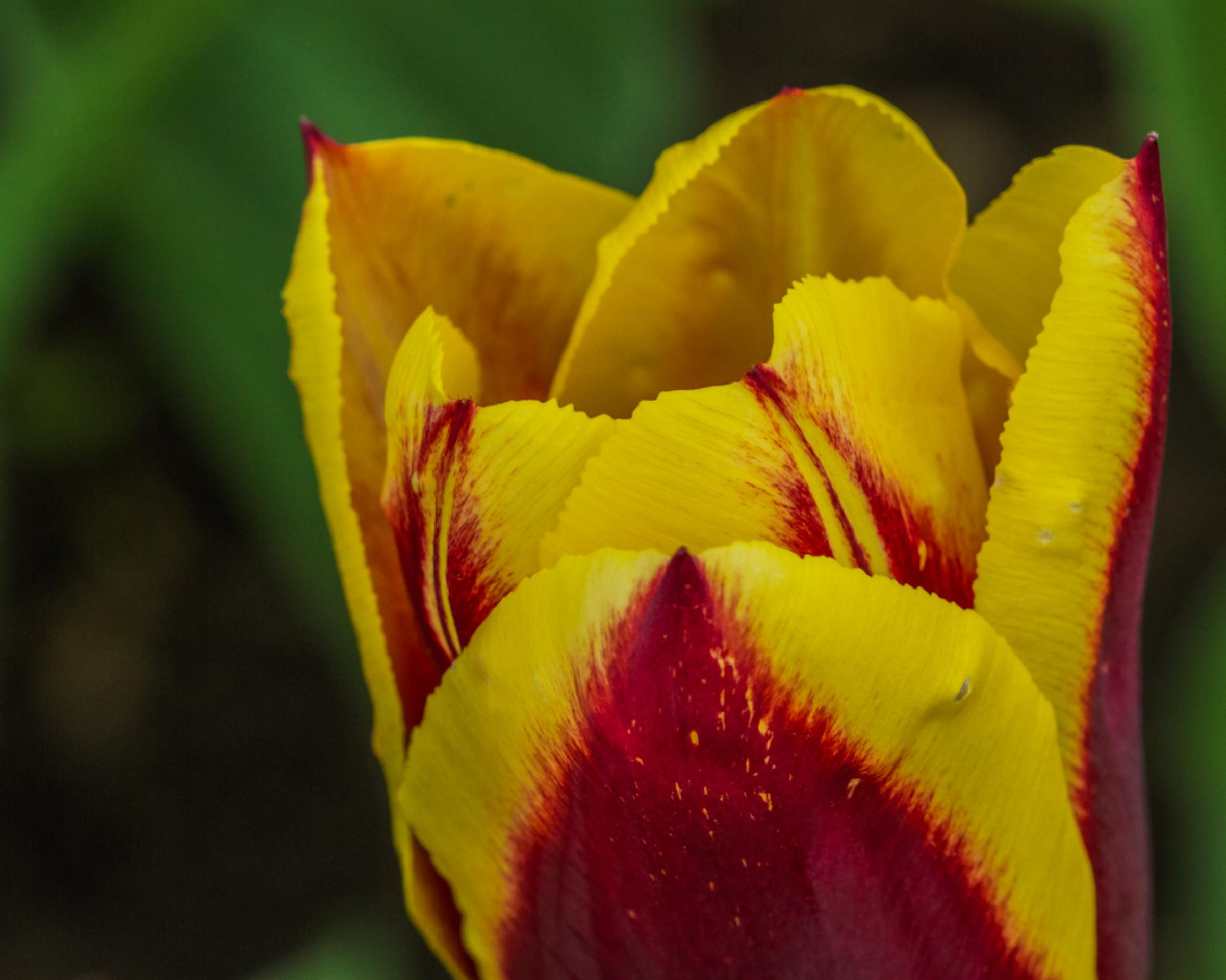 Beautiful Tulip... by BSRsPhotography