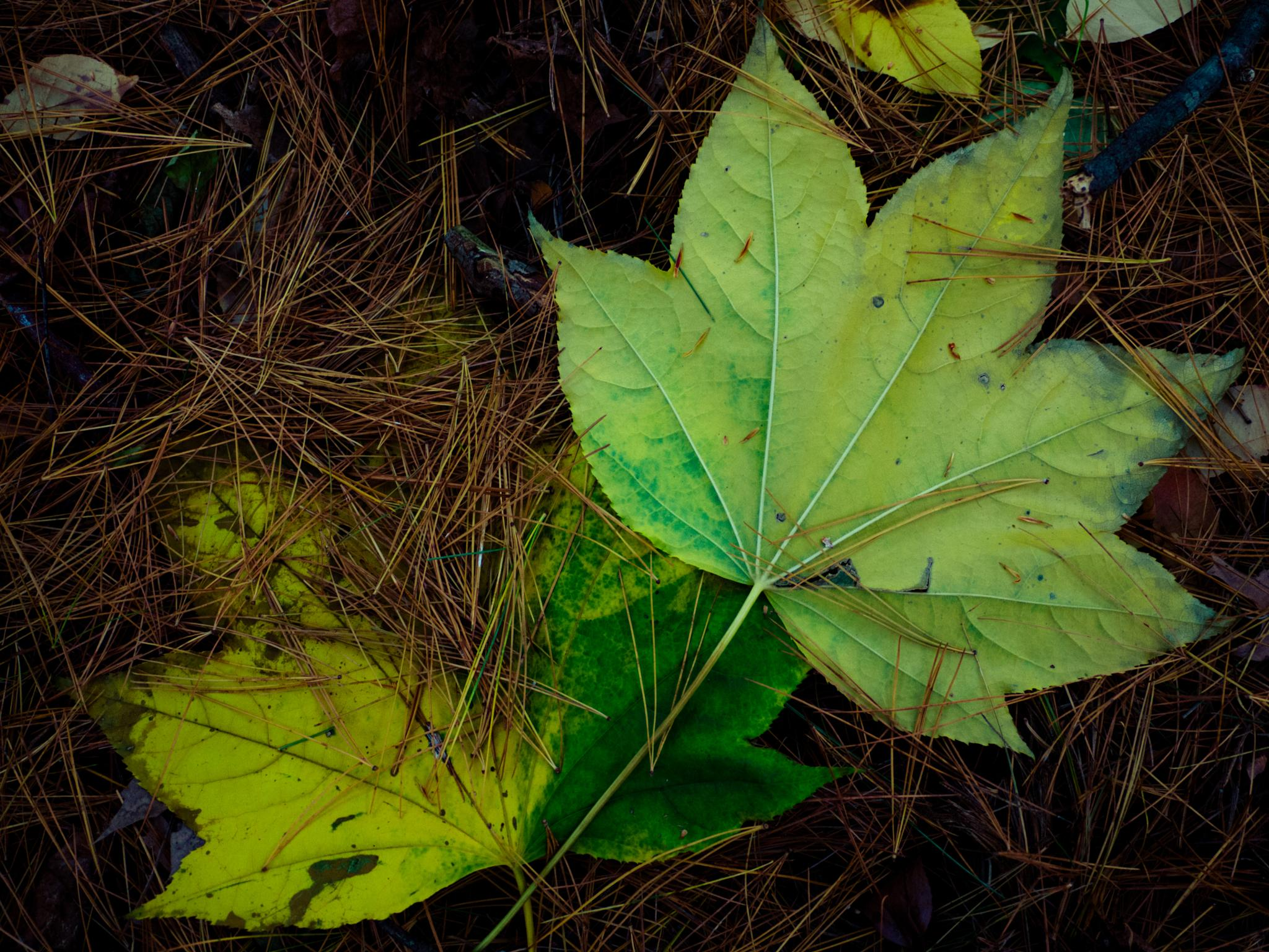 Maple on Pine by Leann
