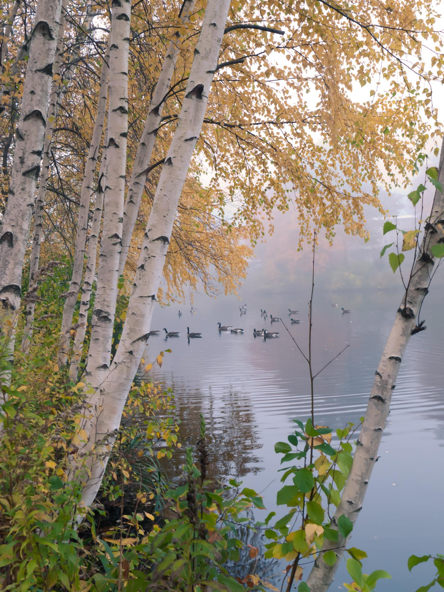 Photo in Random #birch #foliage #yellow leaves #lake #geese