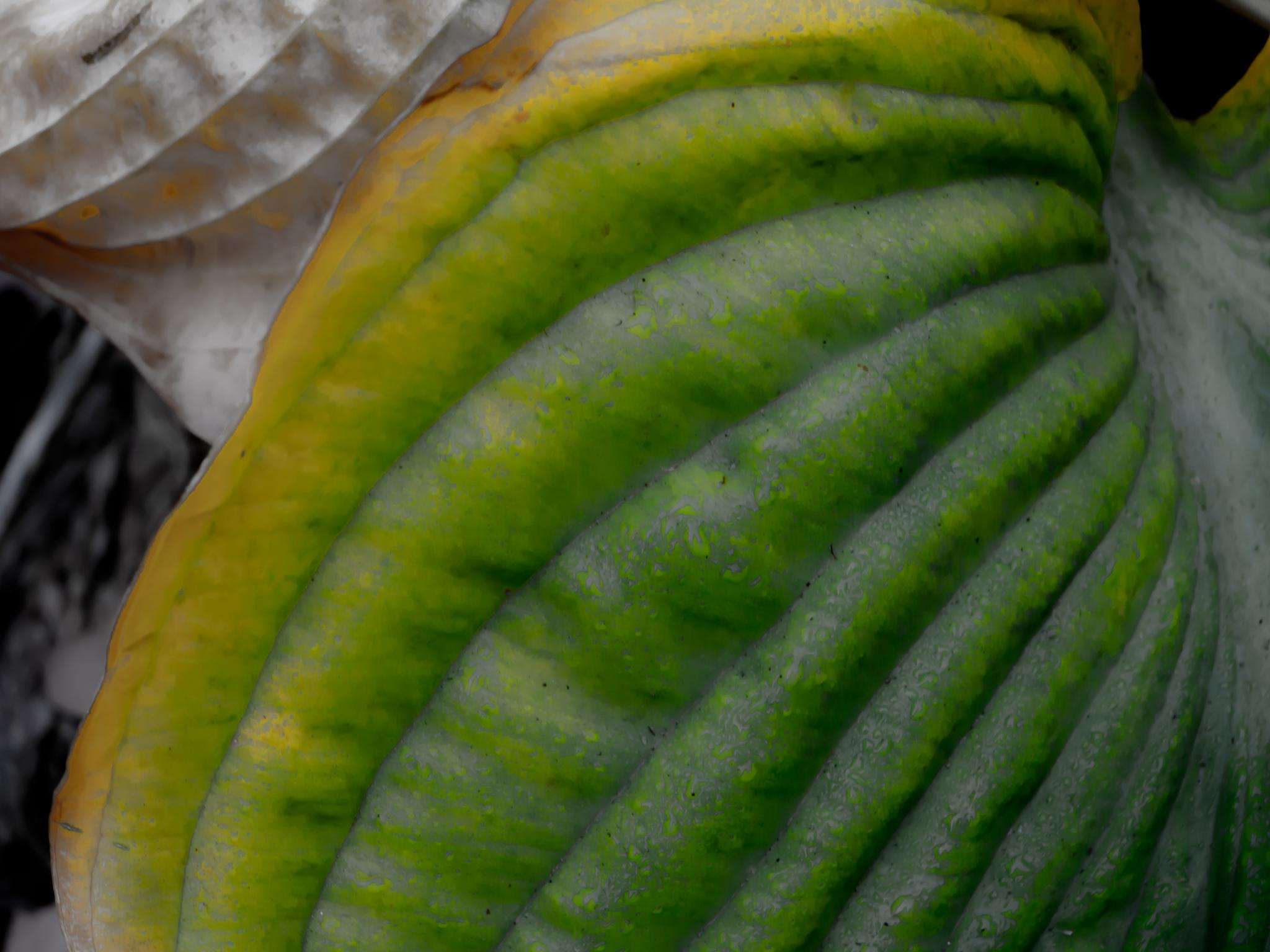 Photo in Random #hosta #foliage #leaf