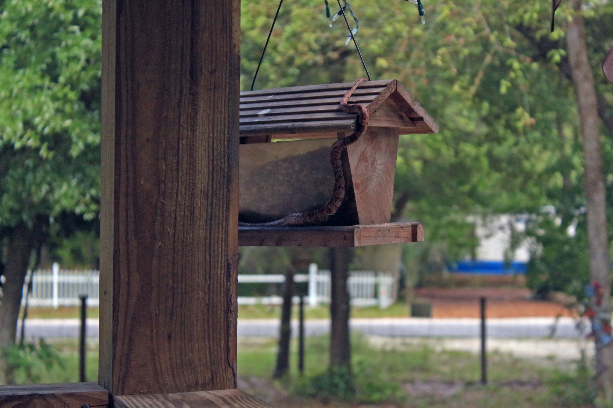 Rat snake in my feeder by Linda L. Offen