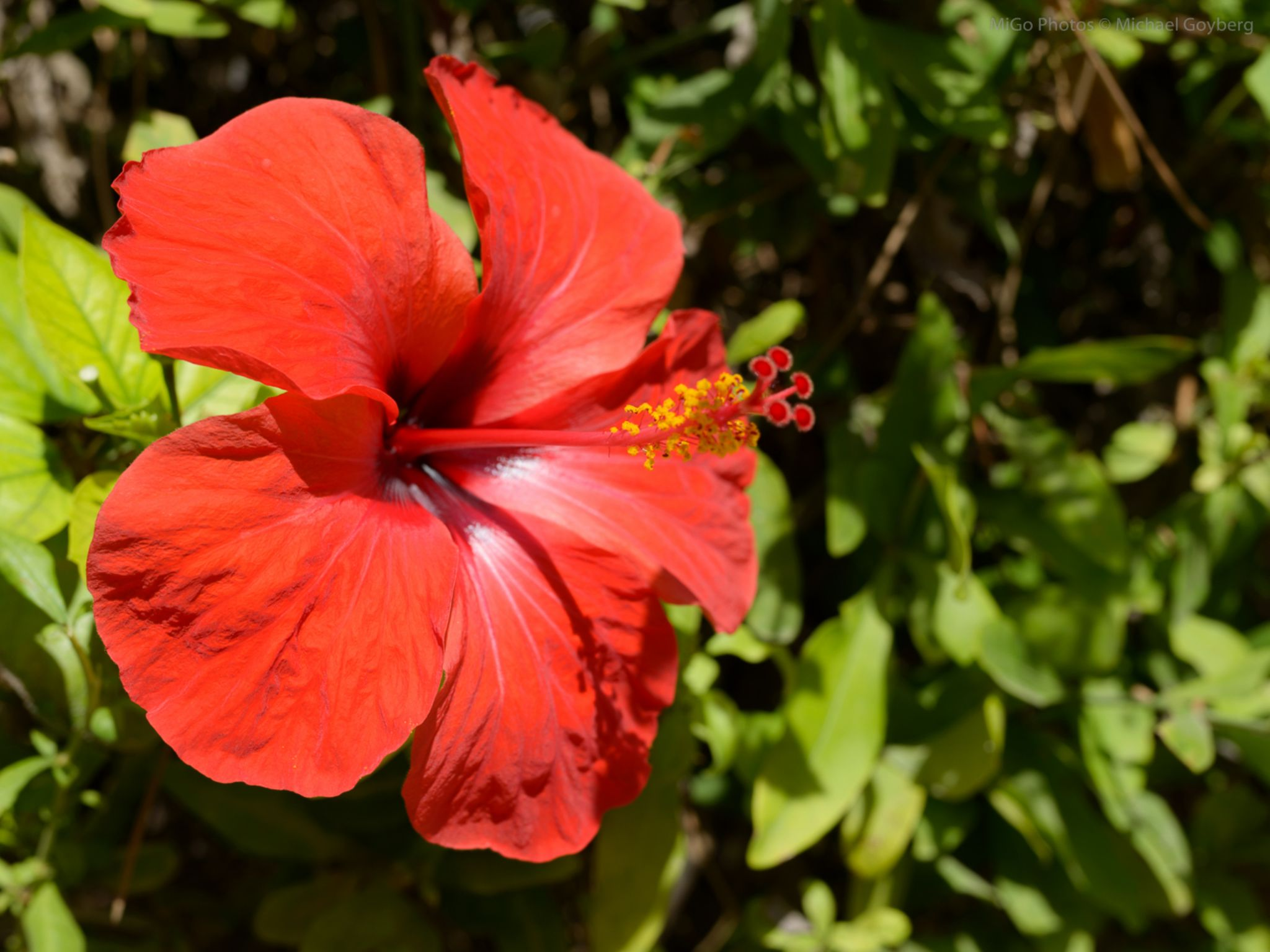 Hibiscus  flower by Michael Goyberg