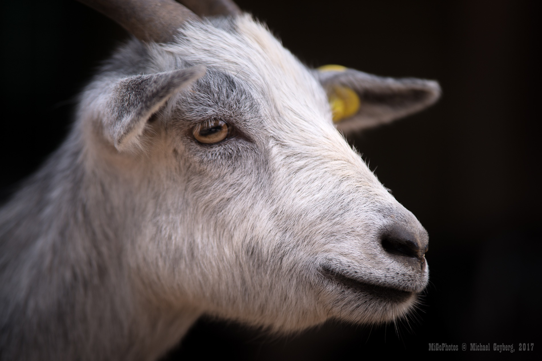Portrait of a Goat by Michael Goyberg