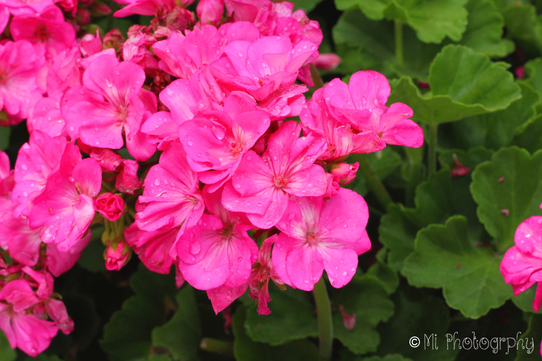 Pink flowers outside the Arlington Cemetery by MIchelle Stanford