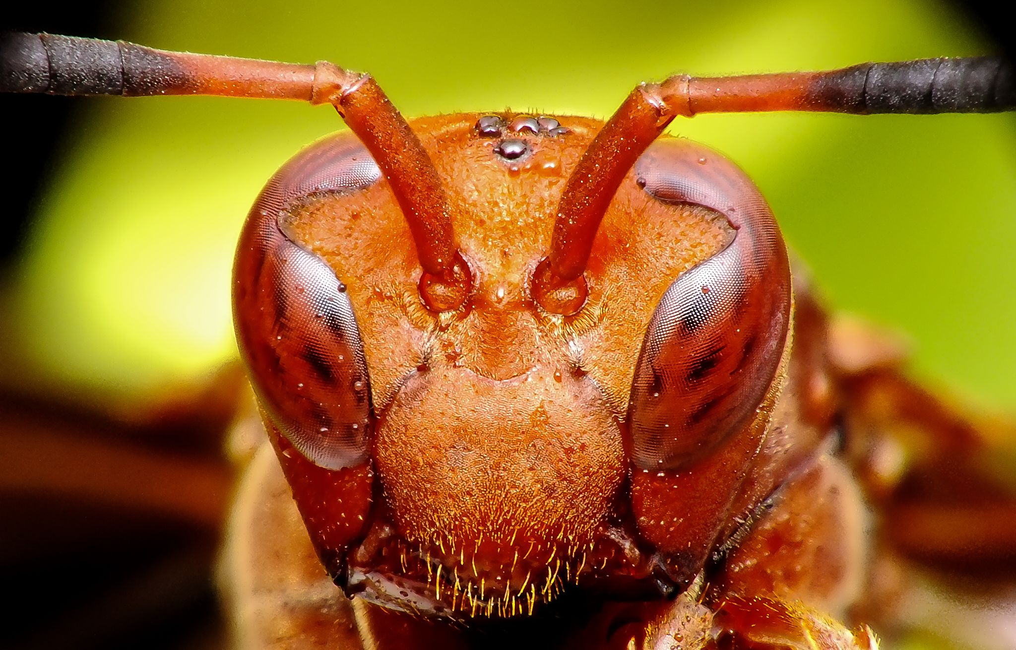 Wasp, marimbondo, caba by Rui Oliveira Santos