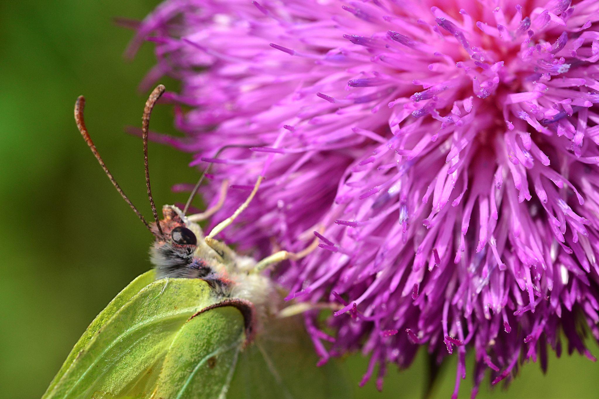 Gonepteryx rhamni Carduus defloratus by Gabriel Burns