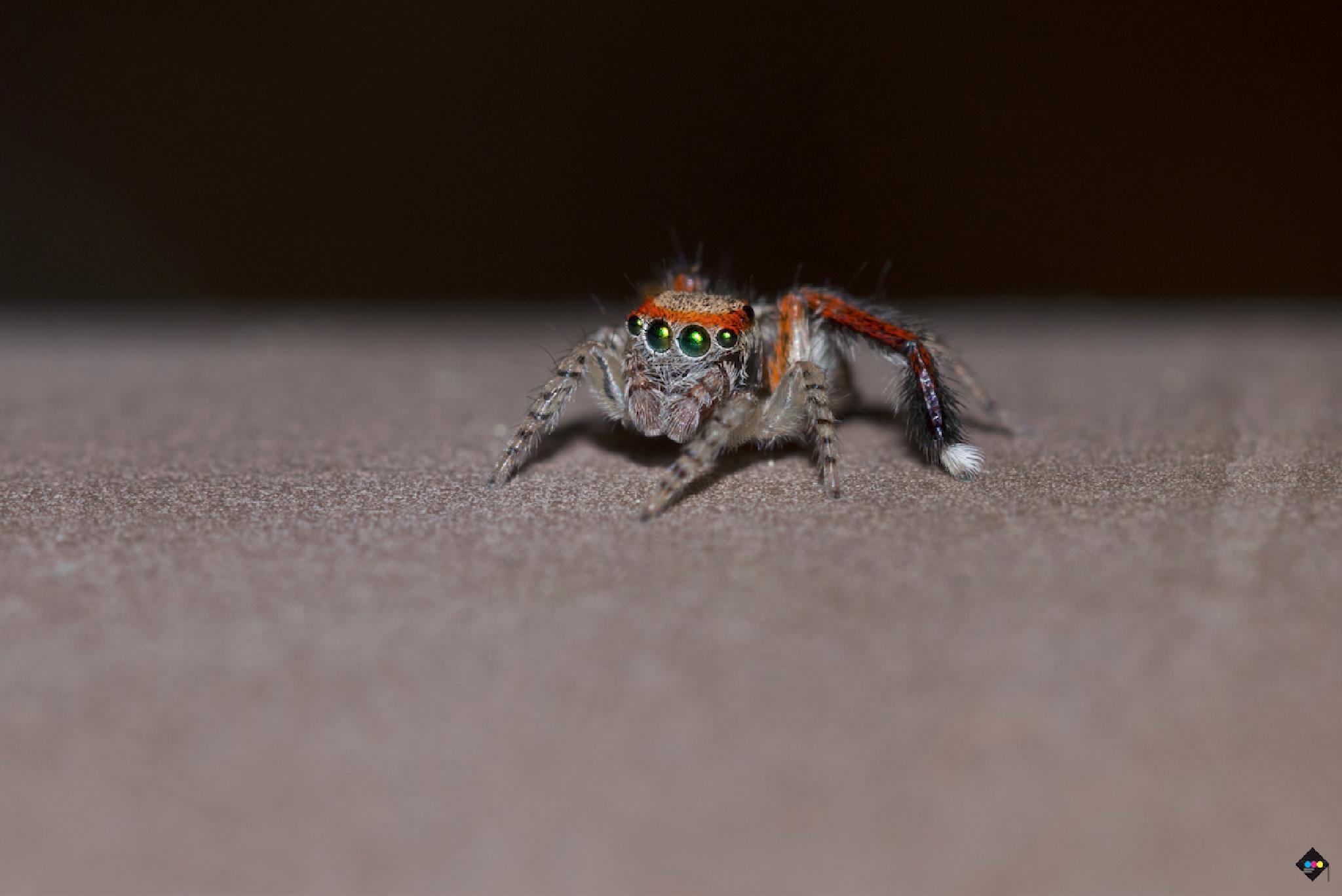 Jumping spider by AmandineHerrero