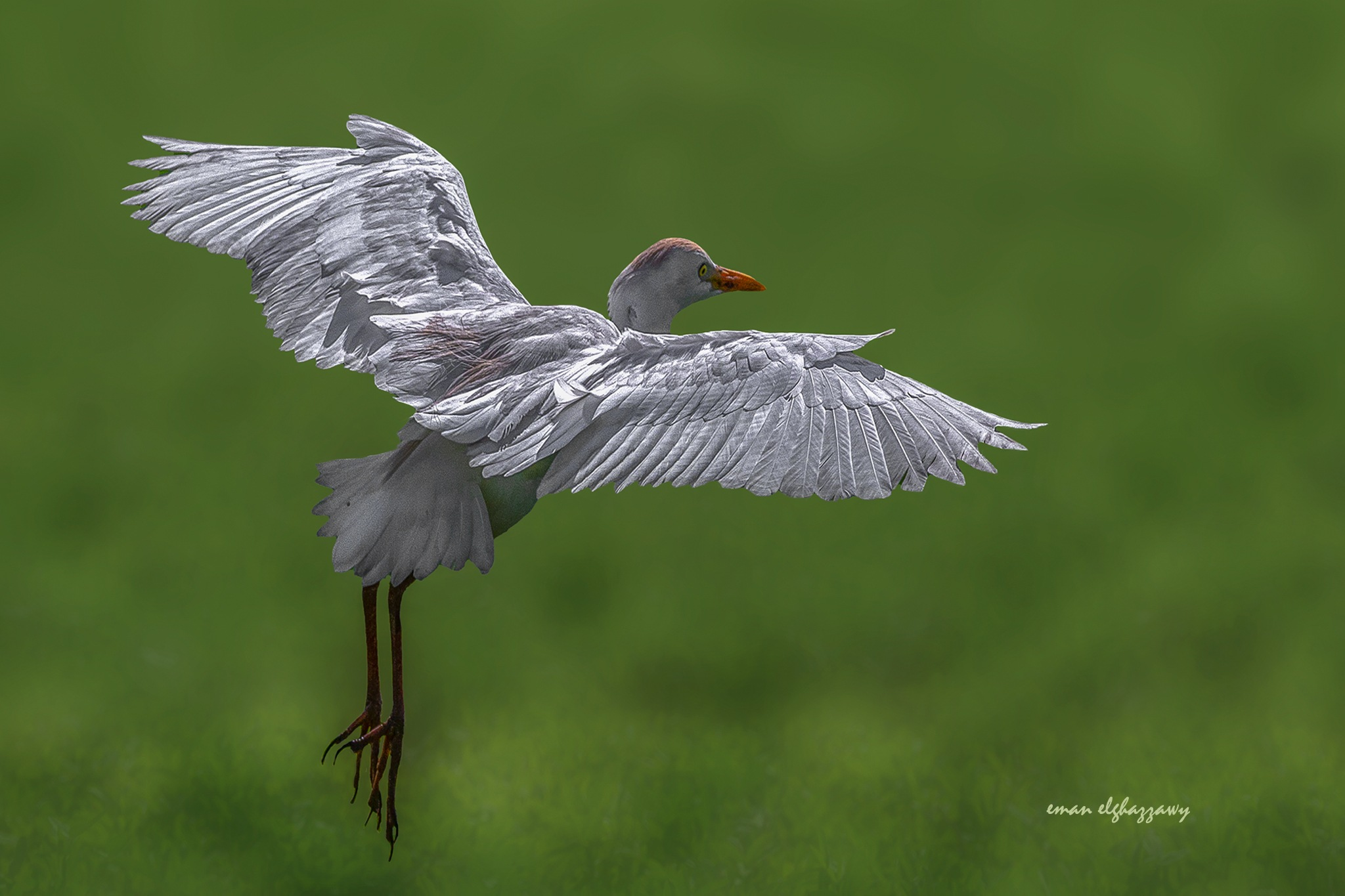 Cattle egret by Dr. Eman ELghazzawy