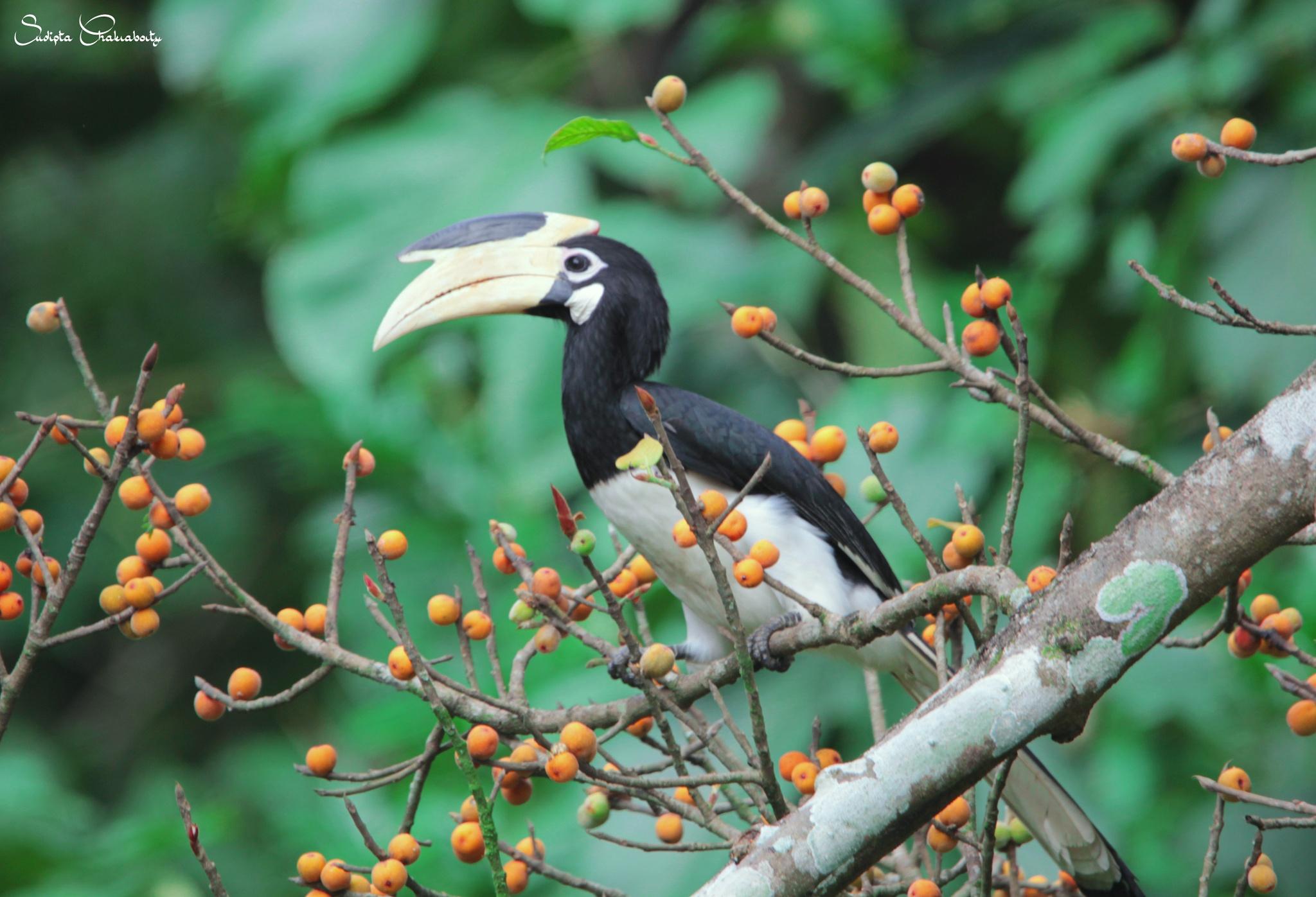Malabar pied hornbill by sudiptachakraborty355
