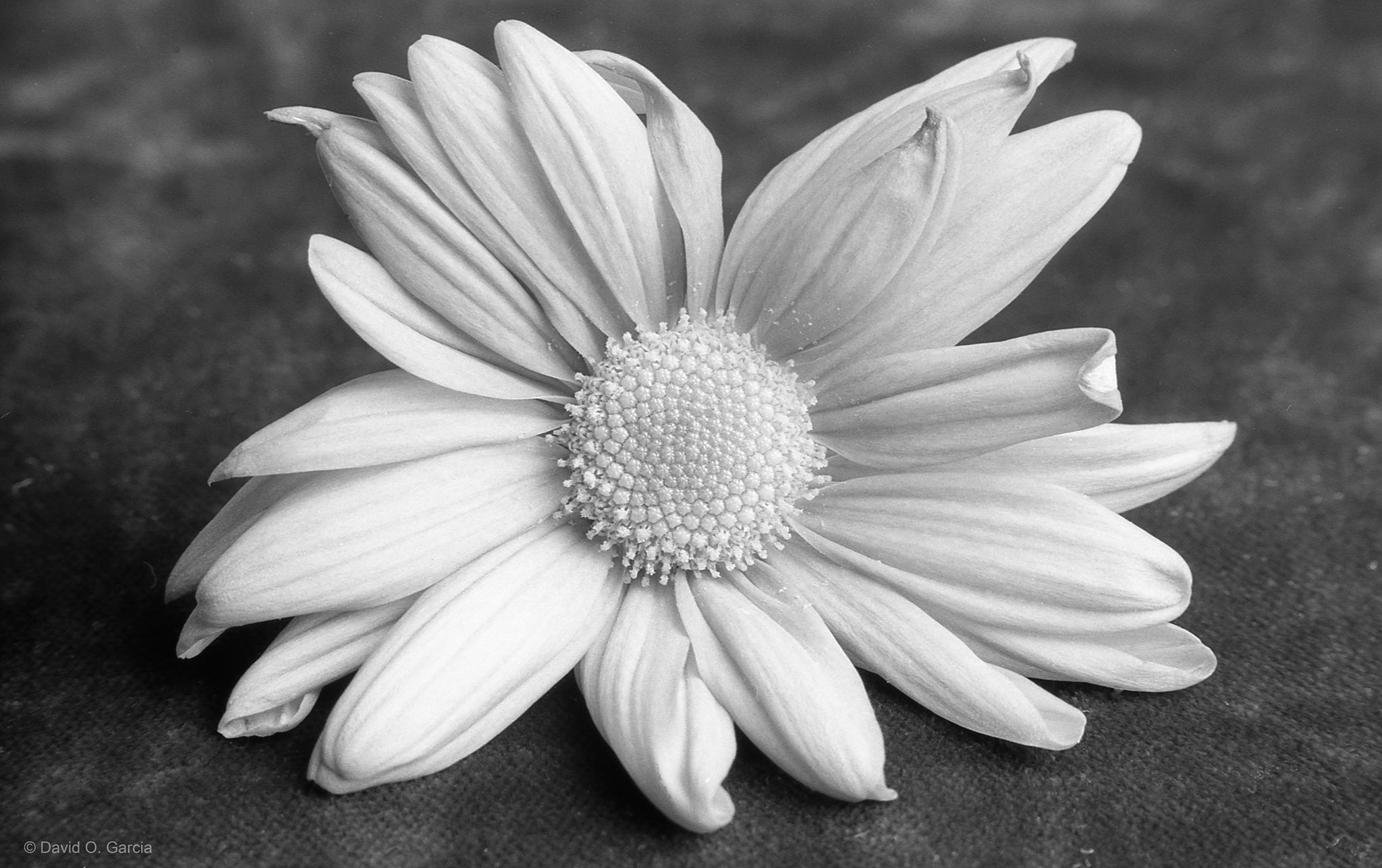 Black and White Flower by David Garcia
