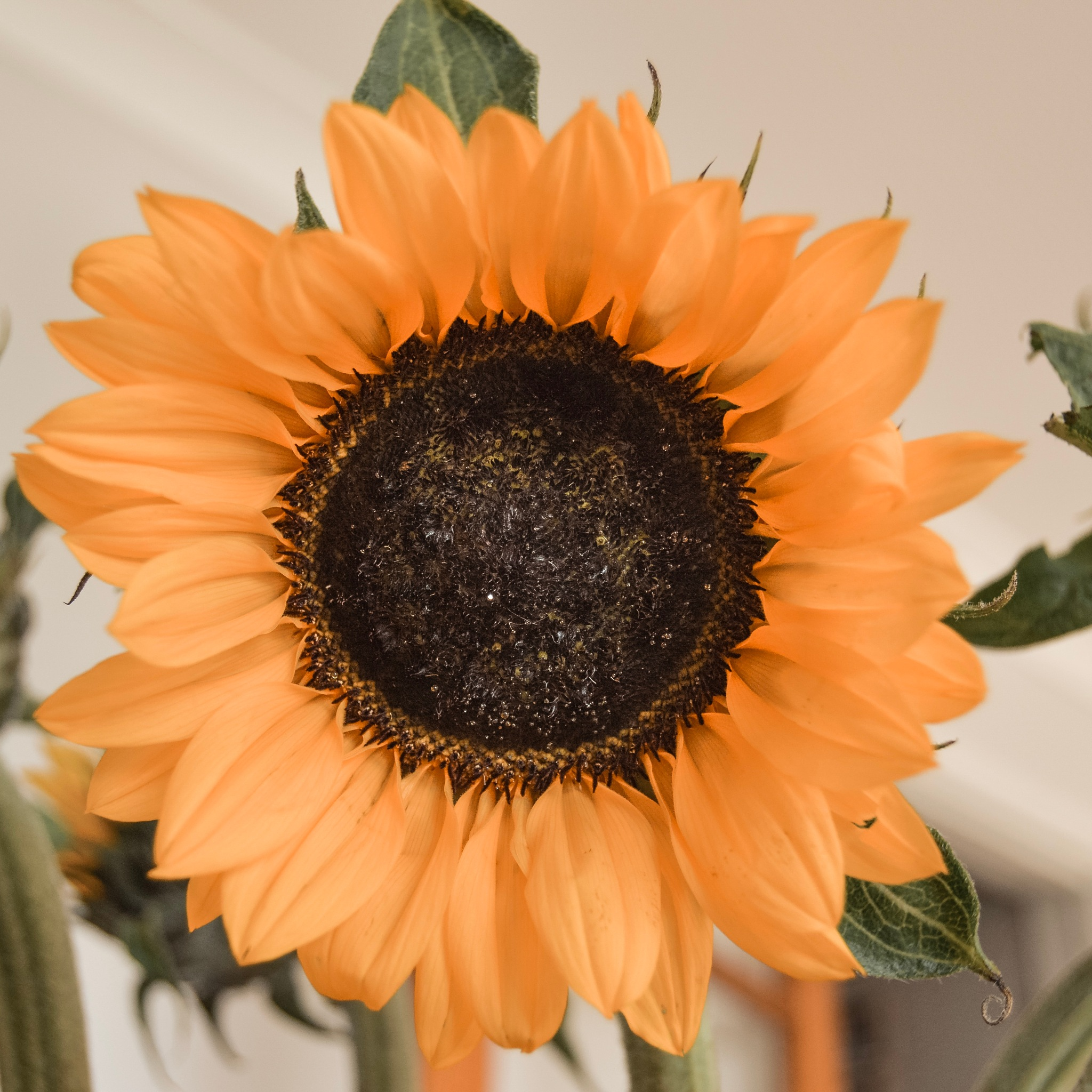 Sunflower by ashleighhiggins