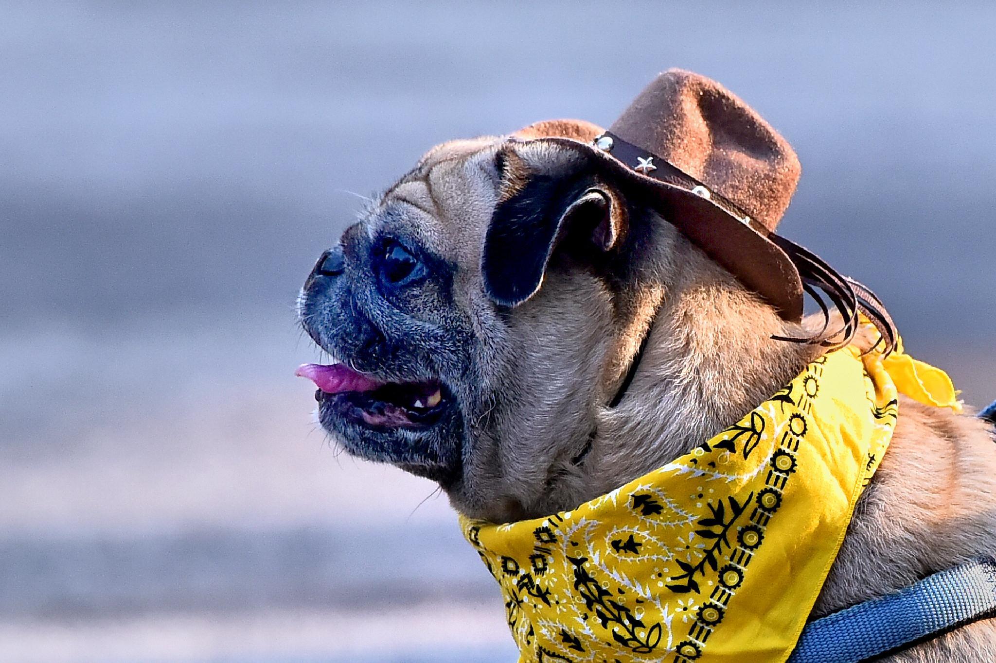 Cowboy Pug by Raymond Lee
