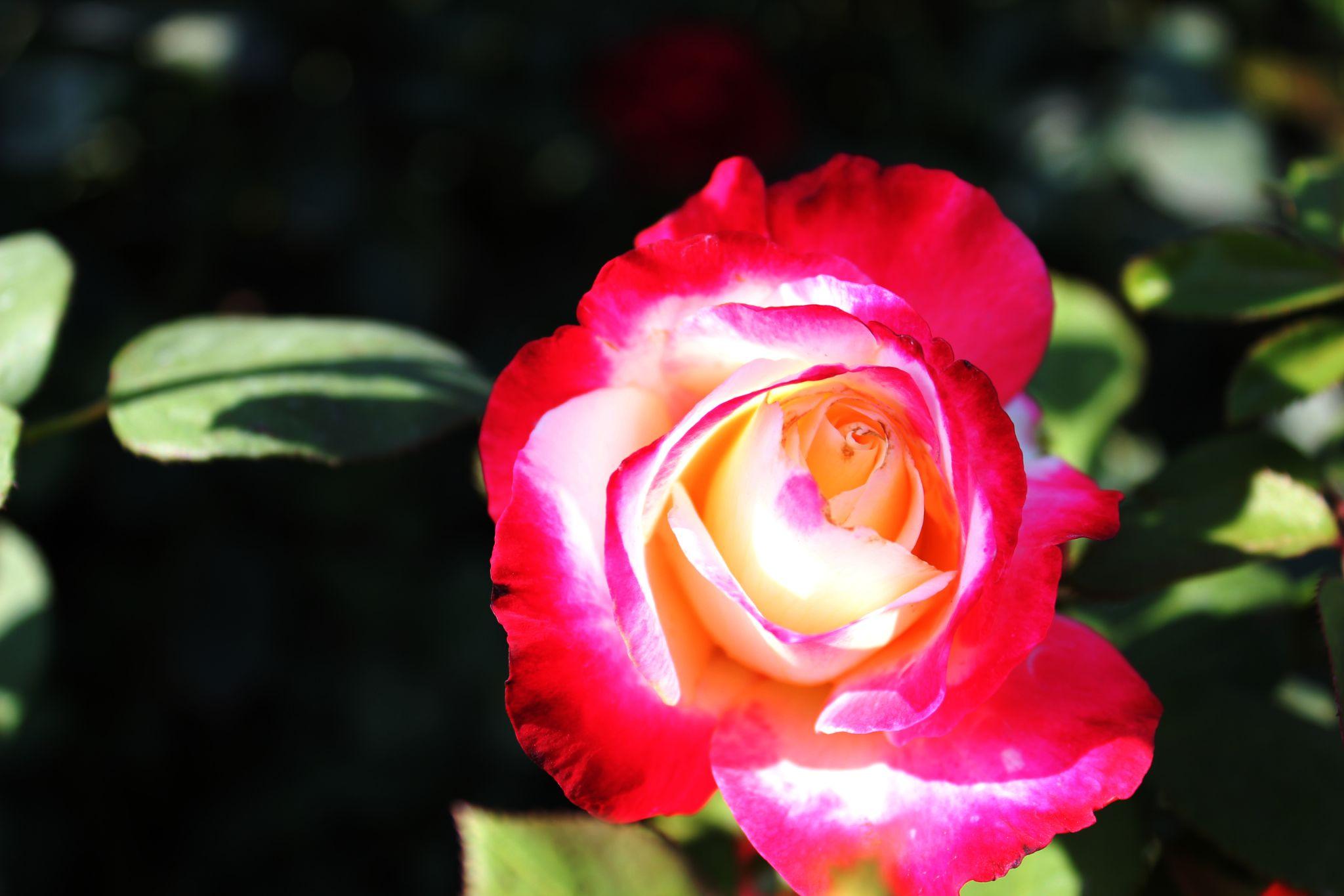 2 color of rose  by vivekshrotiya