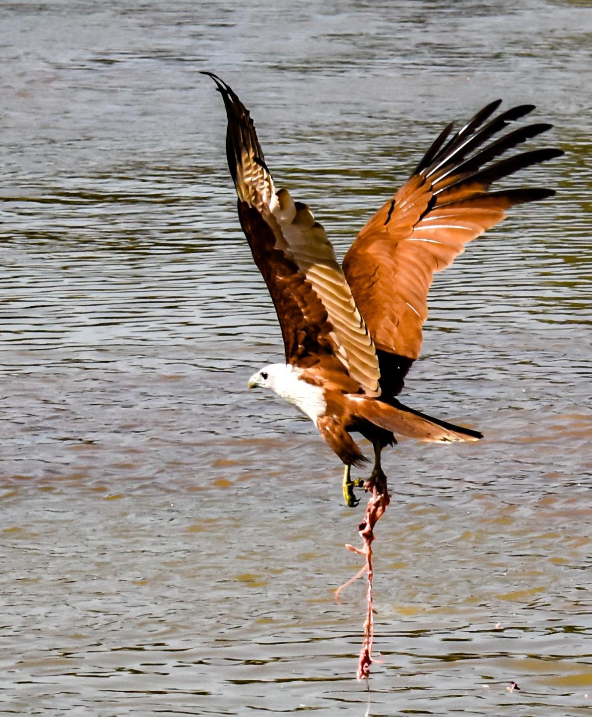 Brahmini Kite With feed by Sroman Roy