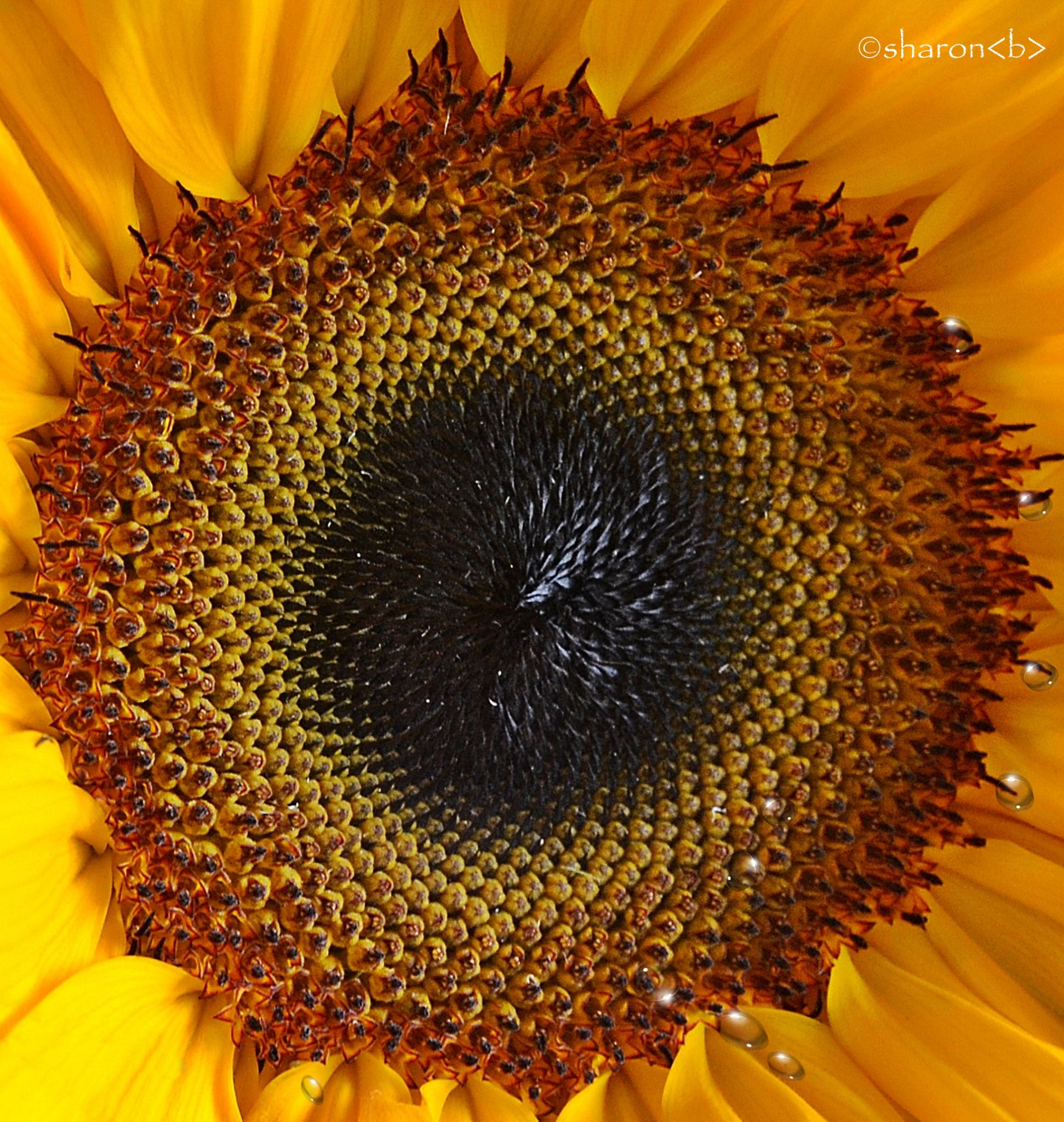 Sunflower Fall 2014 by sharonbphotography