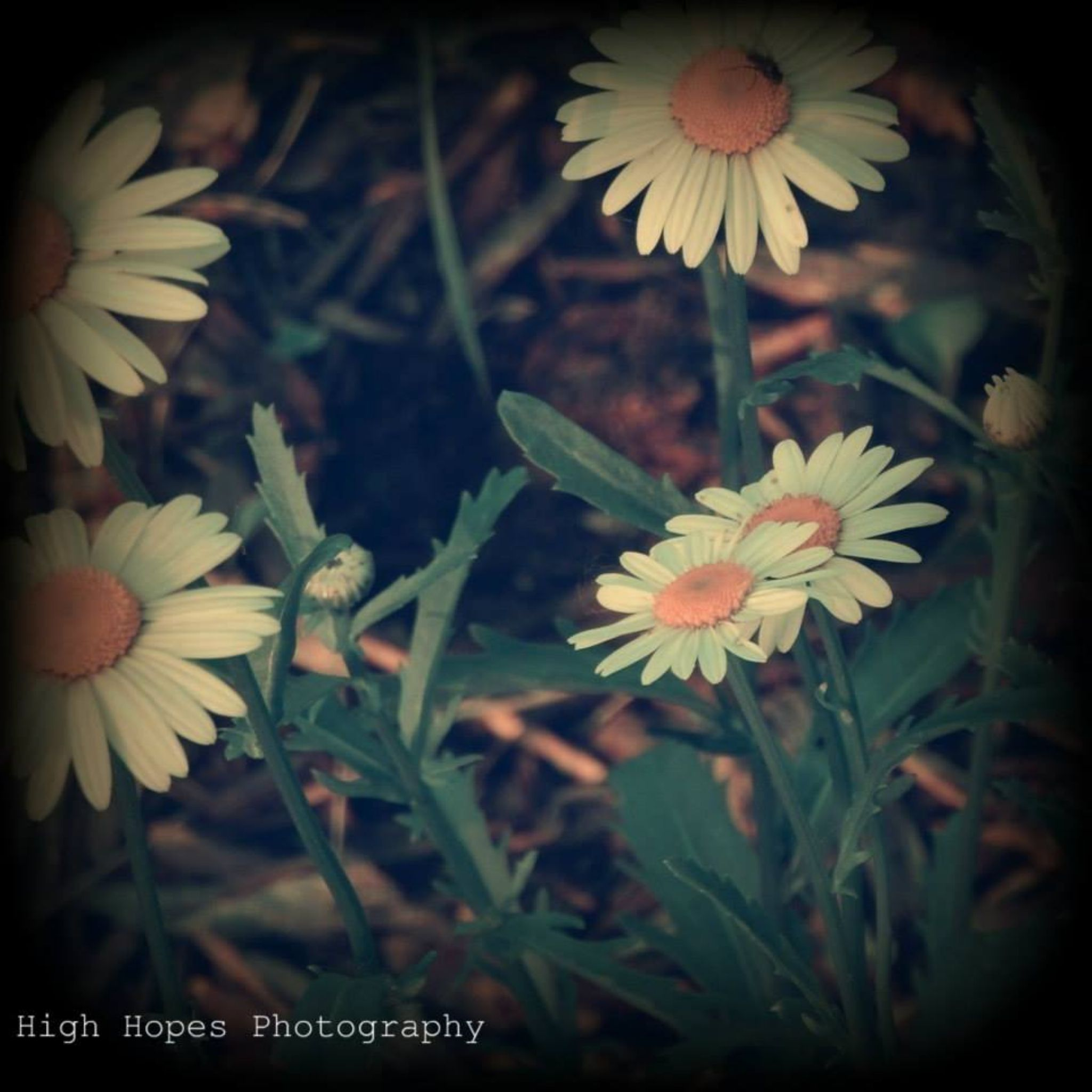Daisies by highhopesphotography
