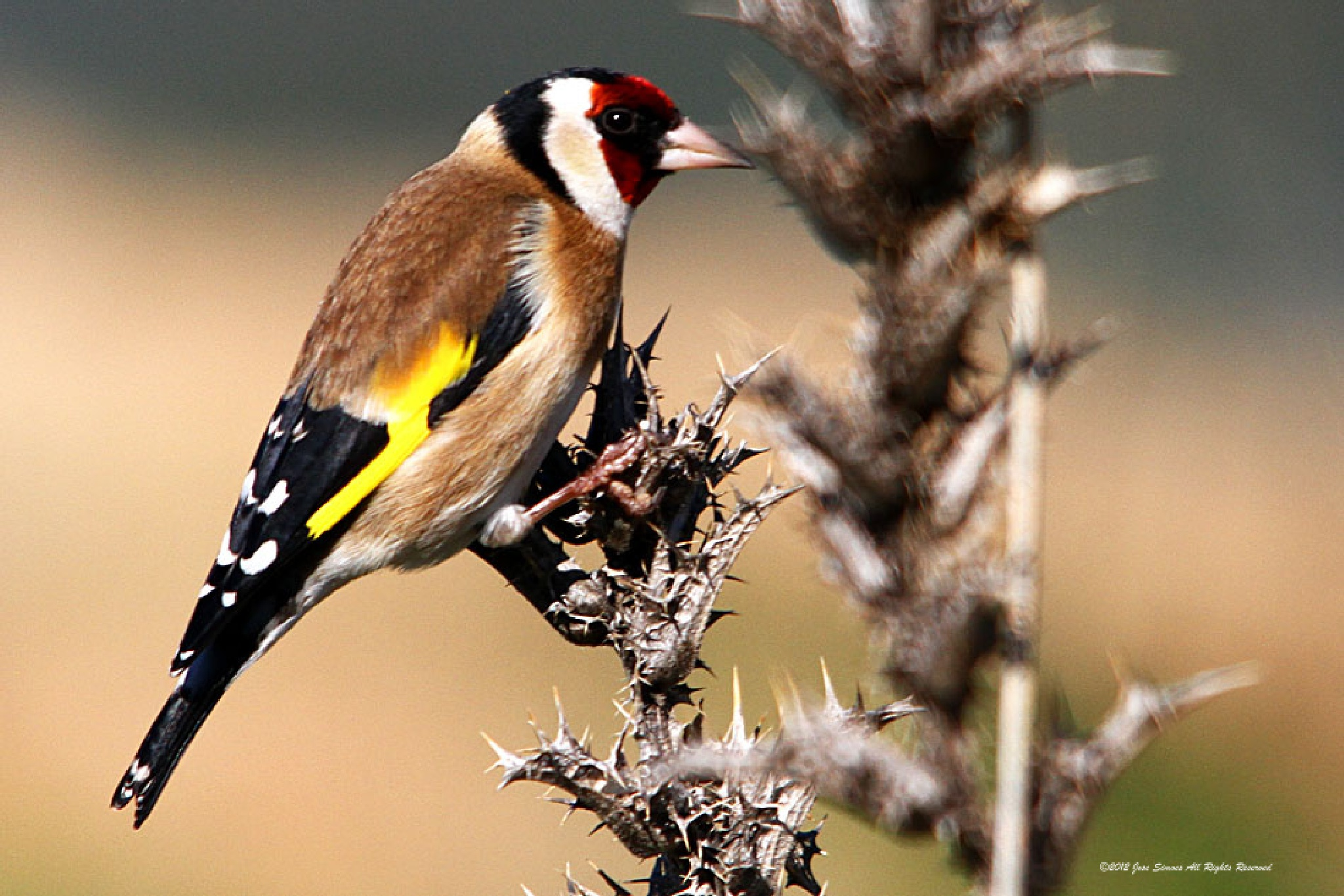 Goldfinch by Jose Simoes