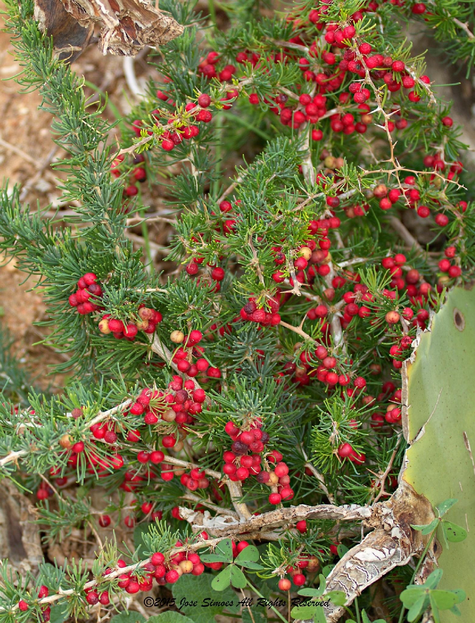 red berries by Jose Simoes