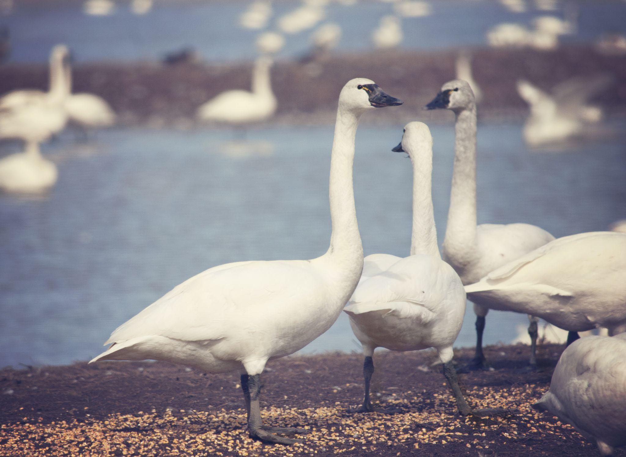 swan gossip by tammy loucks