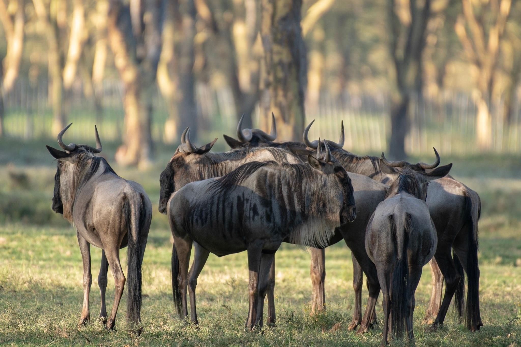 Wildebeest  by Jonathan Ball