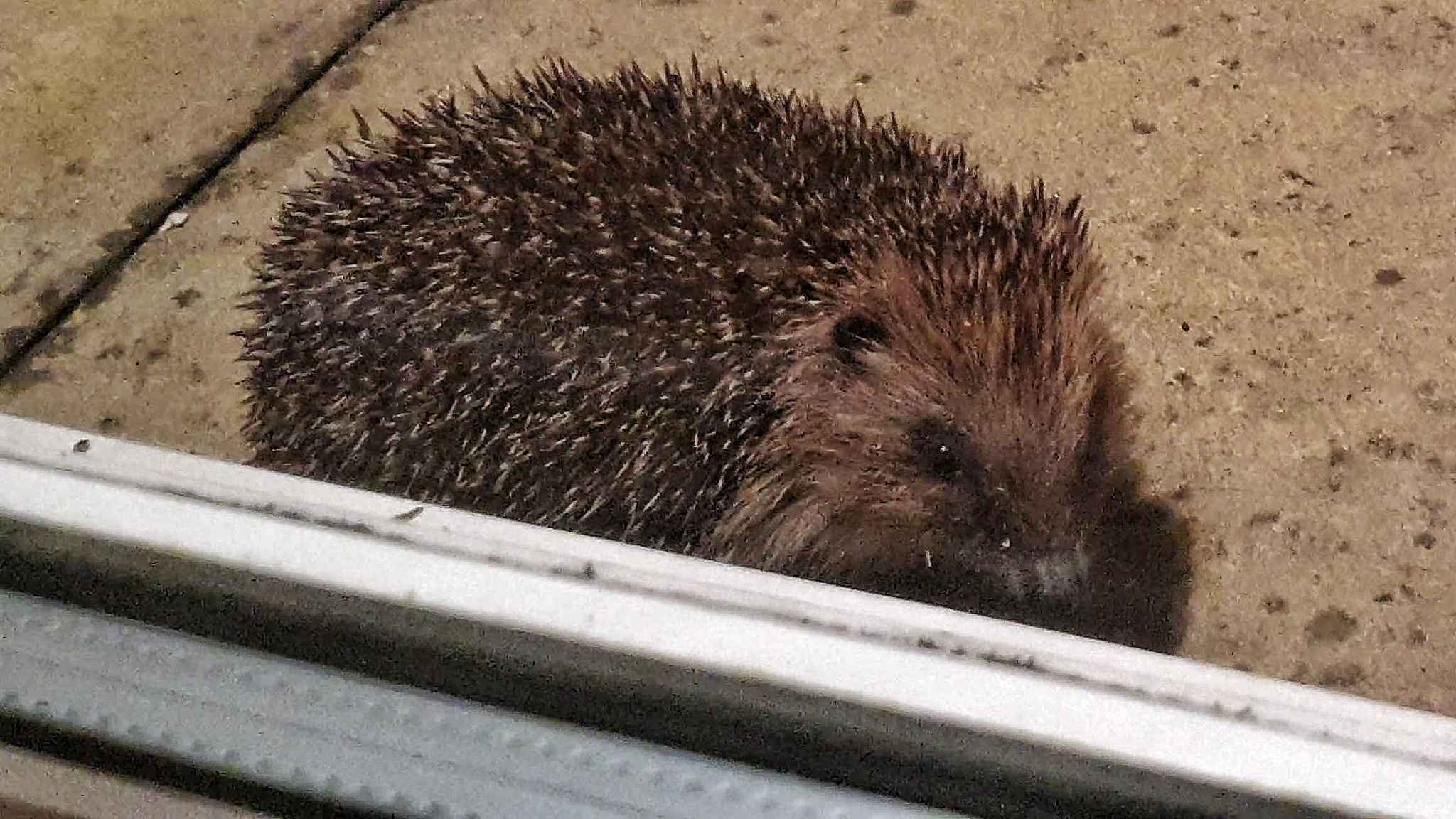 Hedgehog by Chris JK