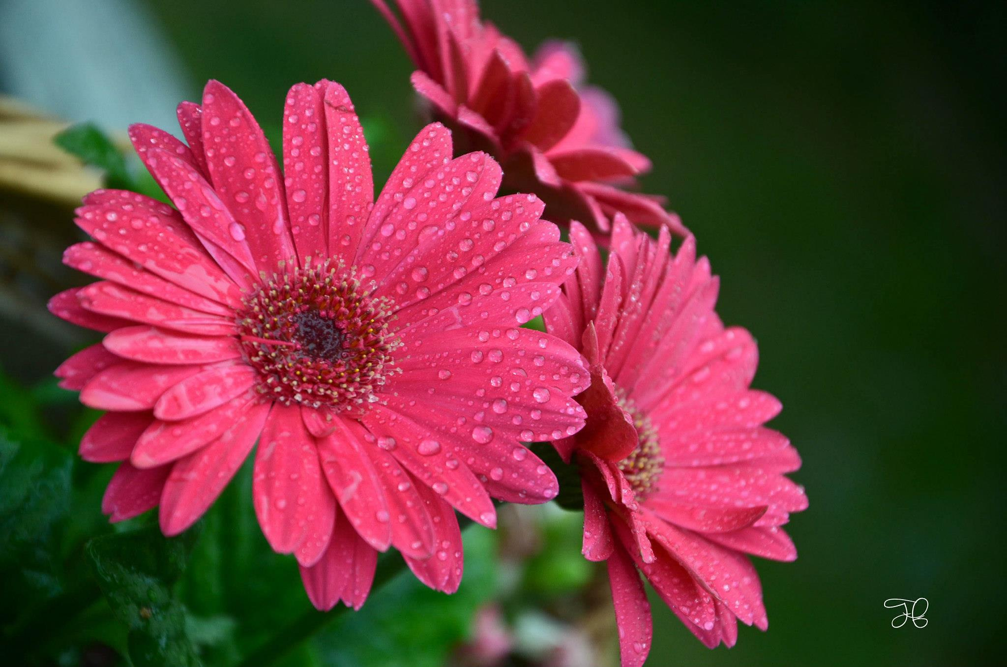 Gerber Daisies by Tracy Nicole
