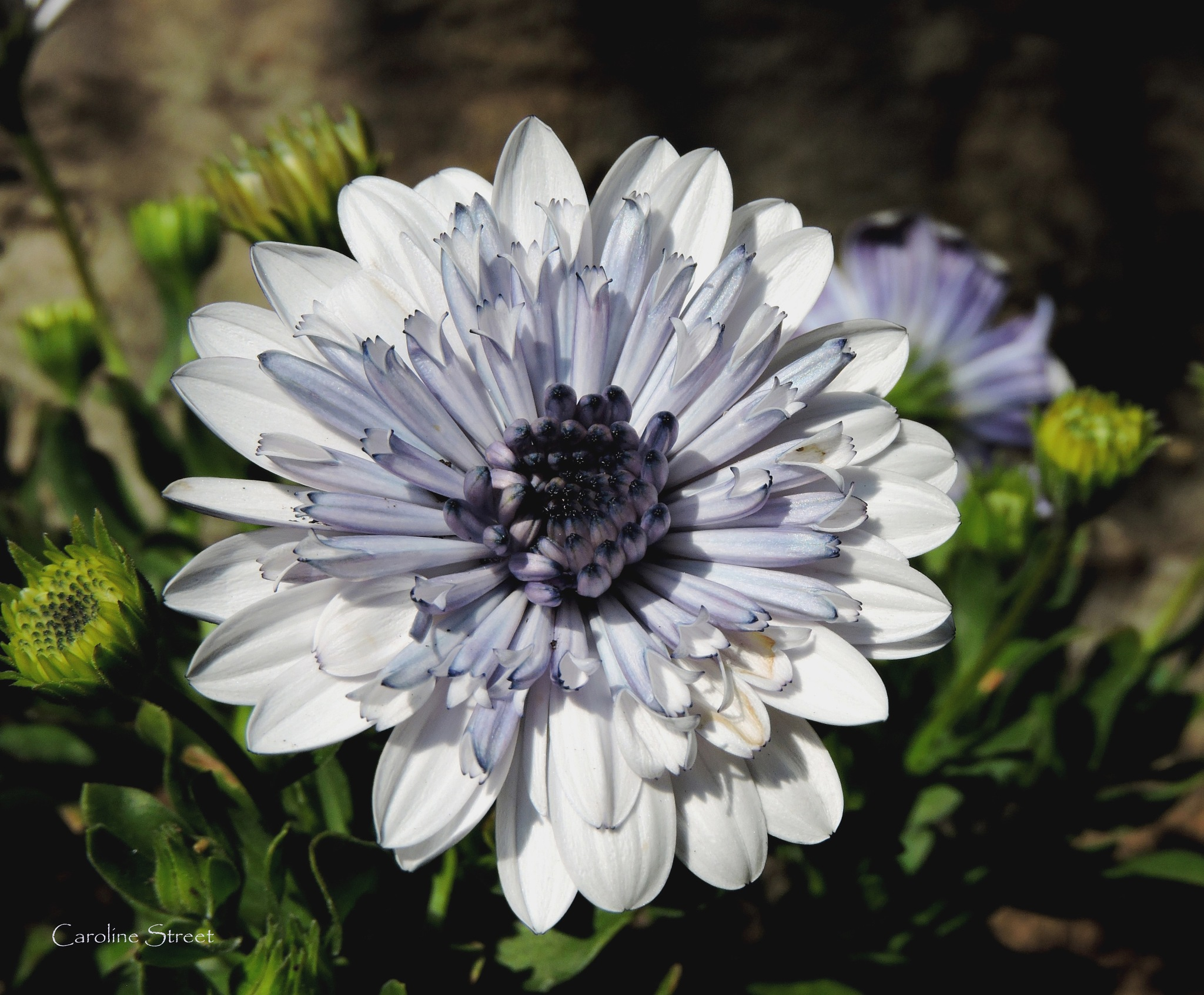 Chrysanthemum, Purple and White by Caroline Street
