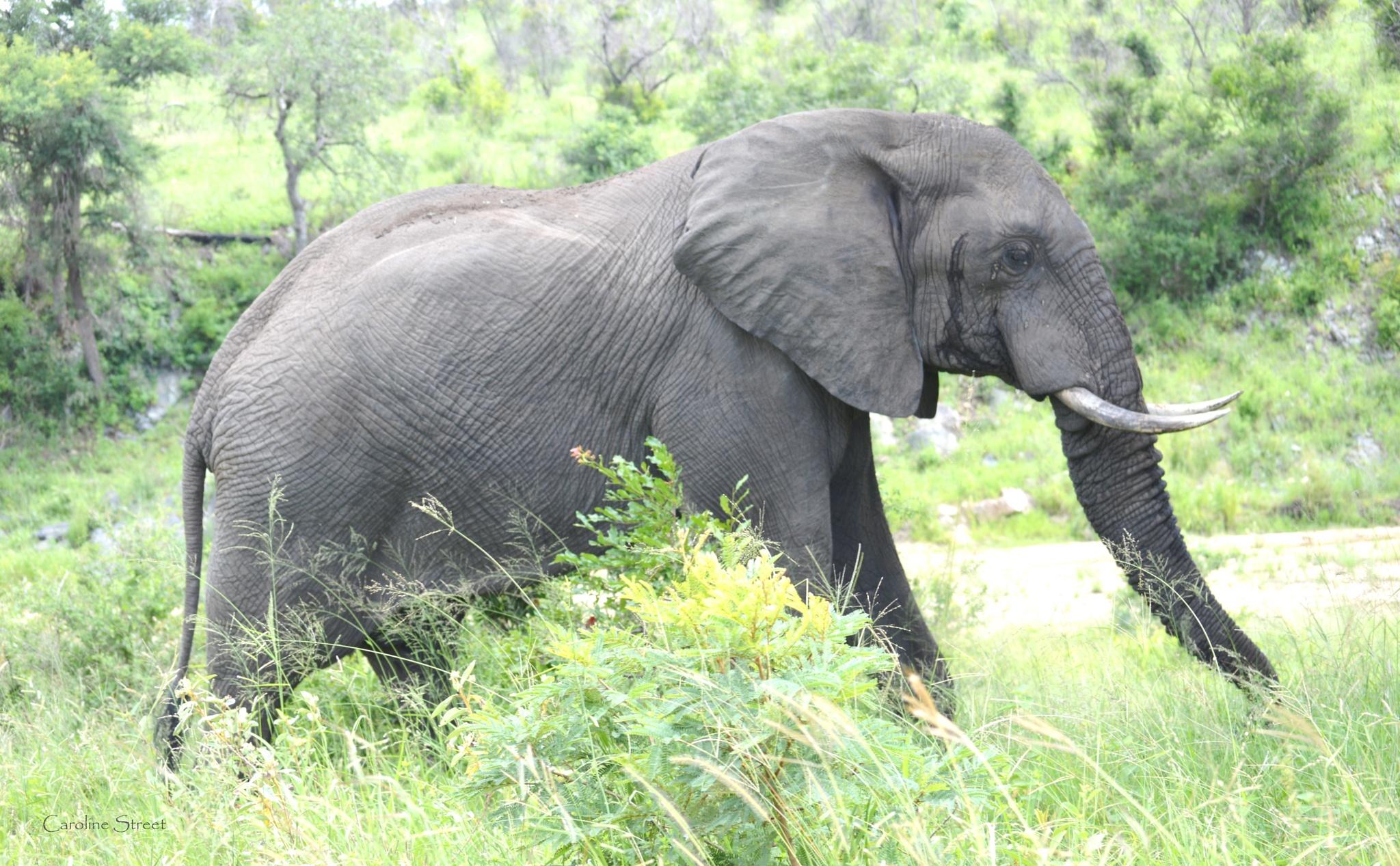 A most gentle beast, the elephant by Caroline Street