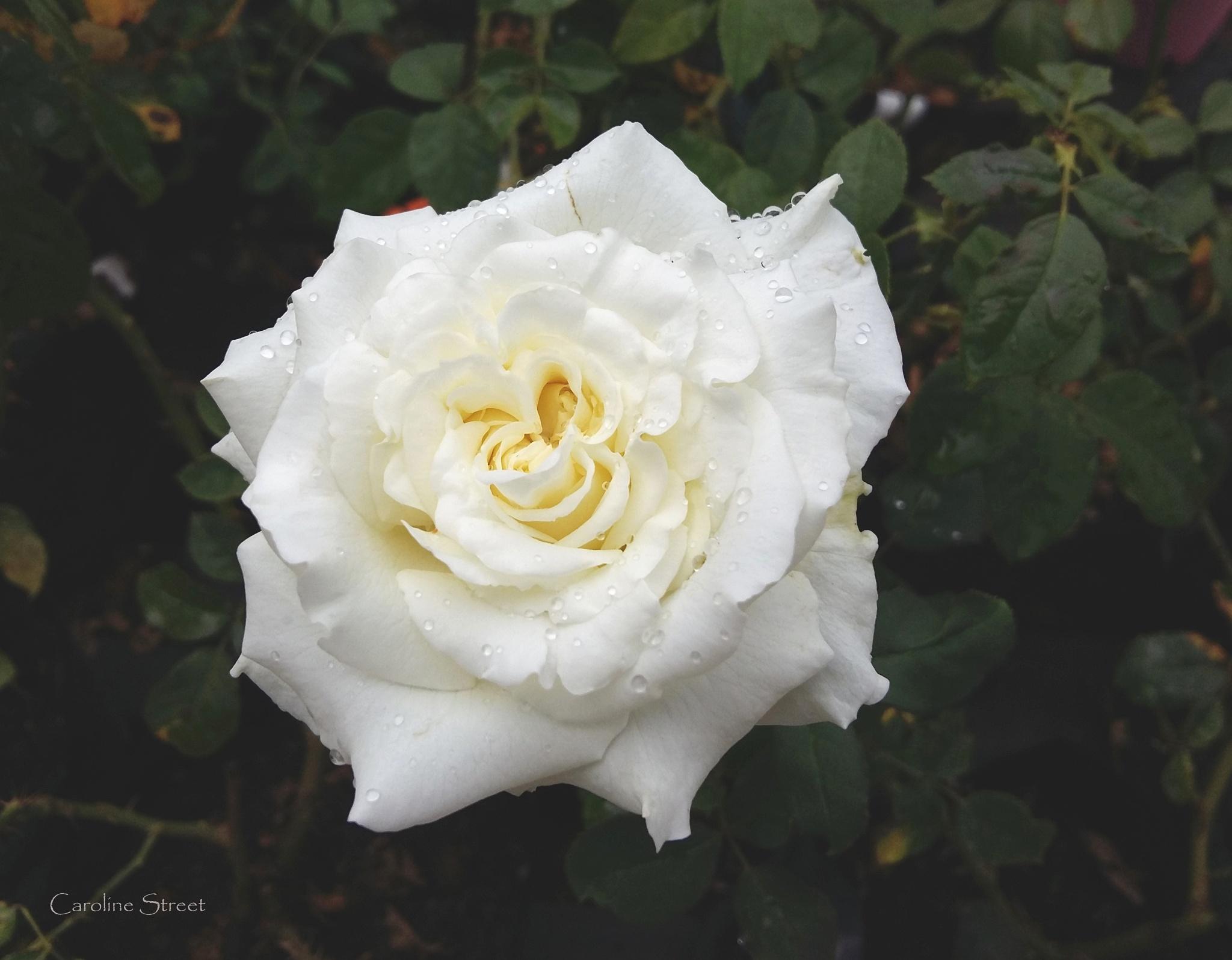 Pure white rose by Caroline Street
