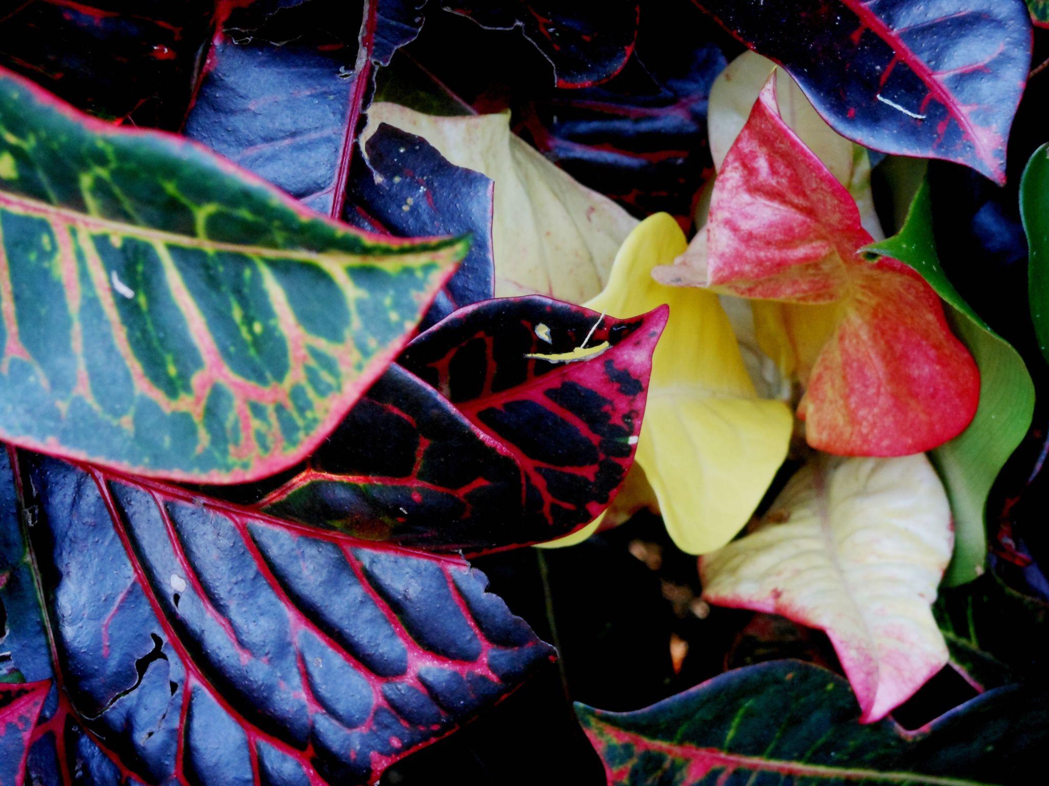 Croton Leaves (1) by Caroline Street