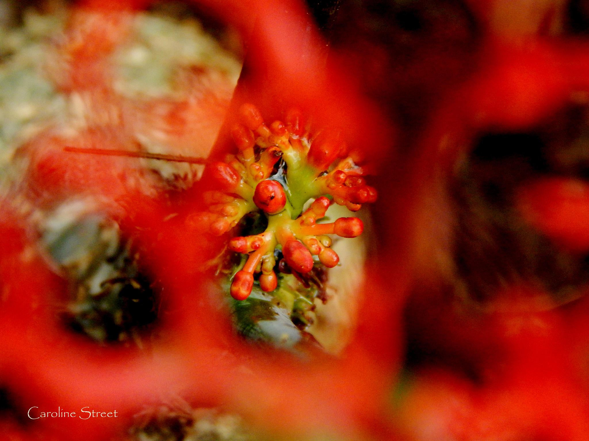 Photo in Nature #coral plant #coral flower #coral plant buds #red flowers #botanicals #macro flower #gardens #flora #carolinestreetart #jatropha multifida