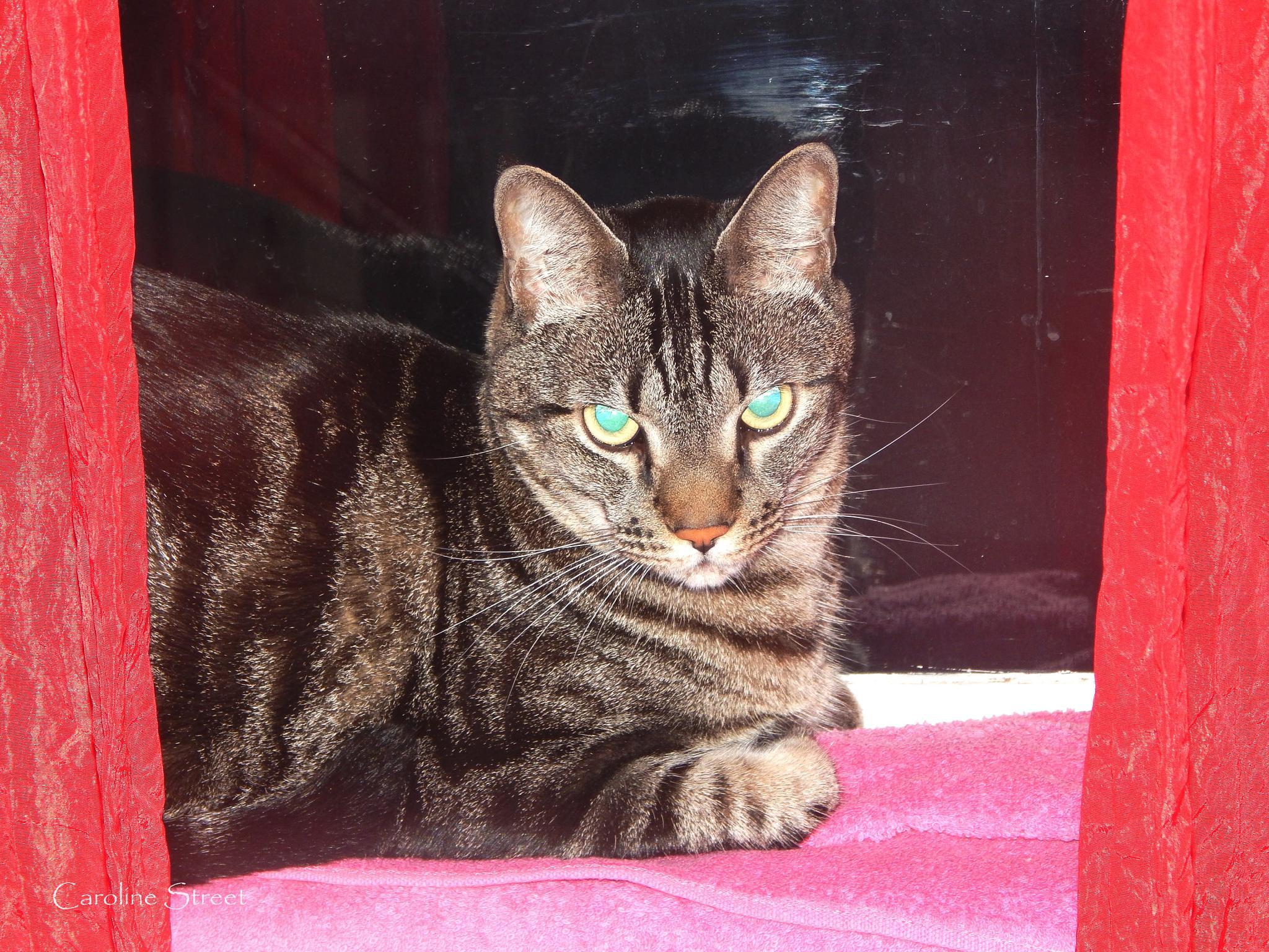 Kitta on the windowsill by Caroline Street