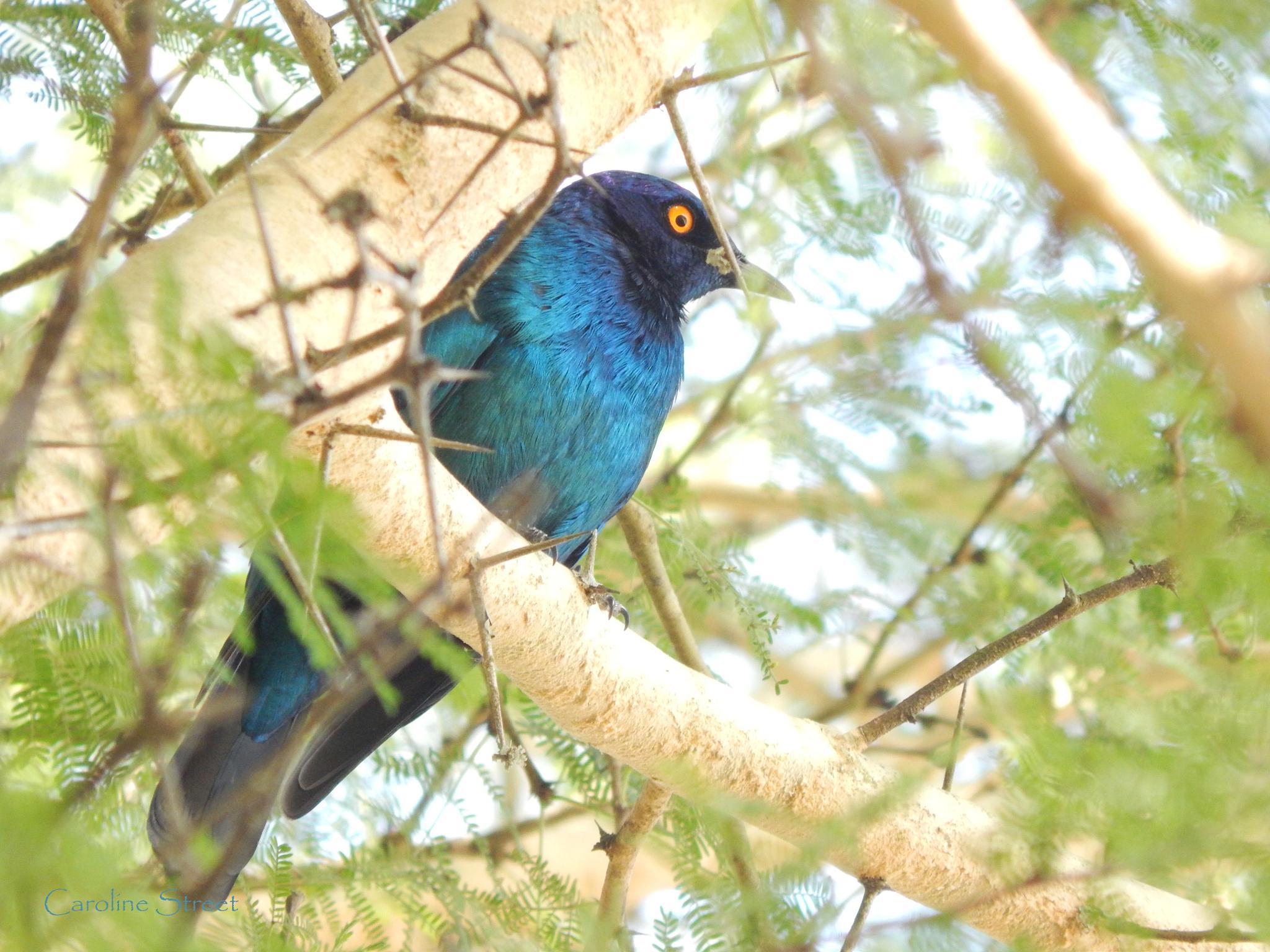 Blue Starling by Caroline Street