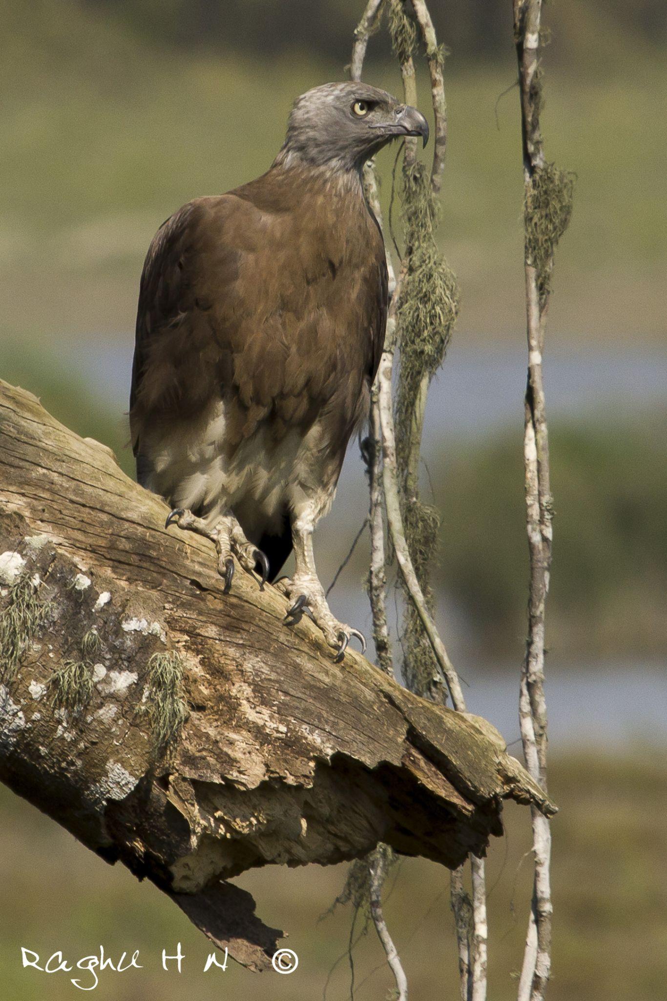 grey headed fish eagle by Raghu Narayan
