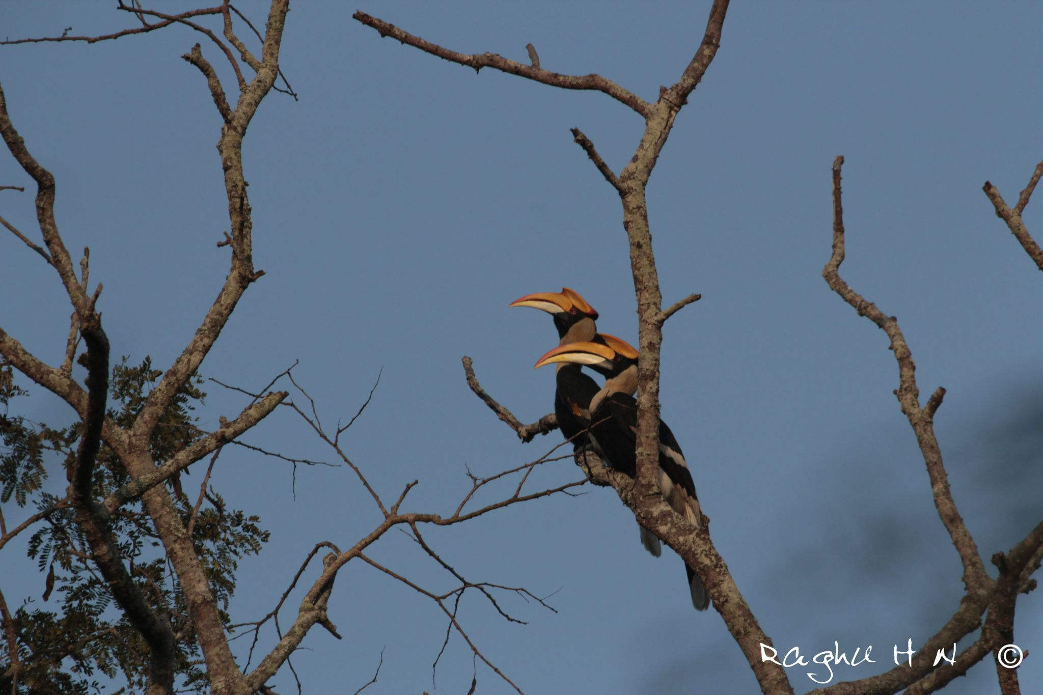 Pair of Great Hornbills with a fresh early morning light by Raghu Narayan