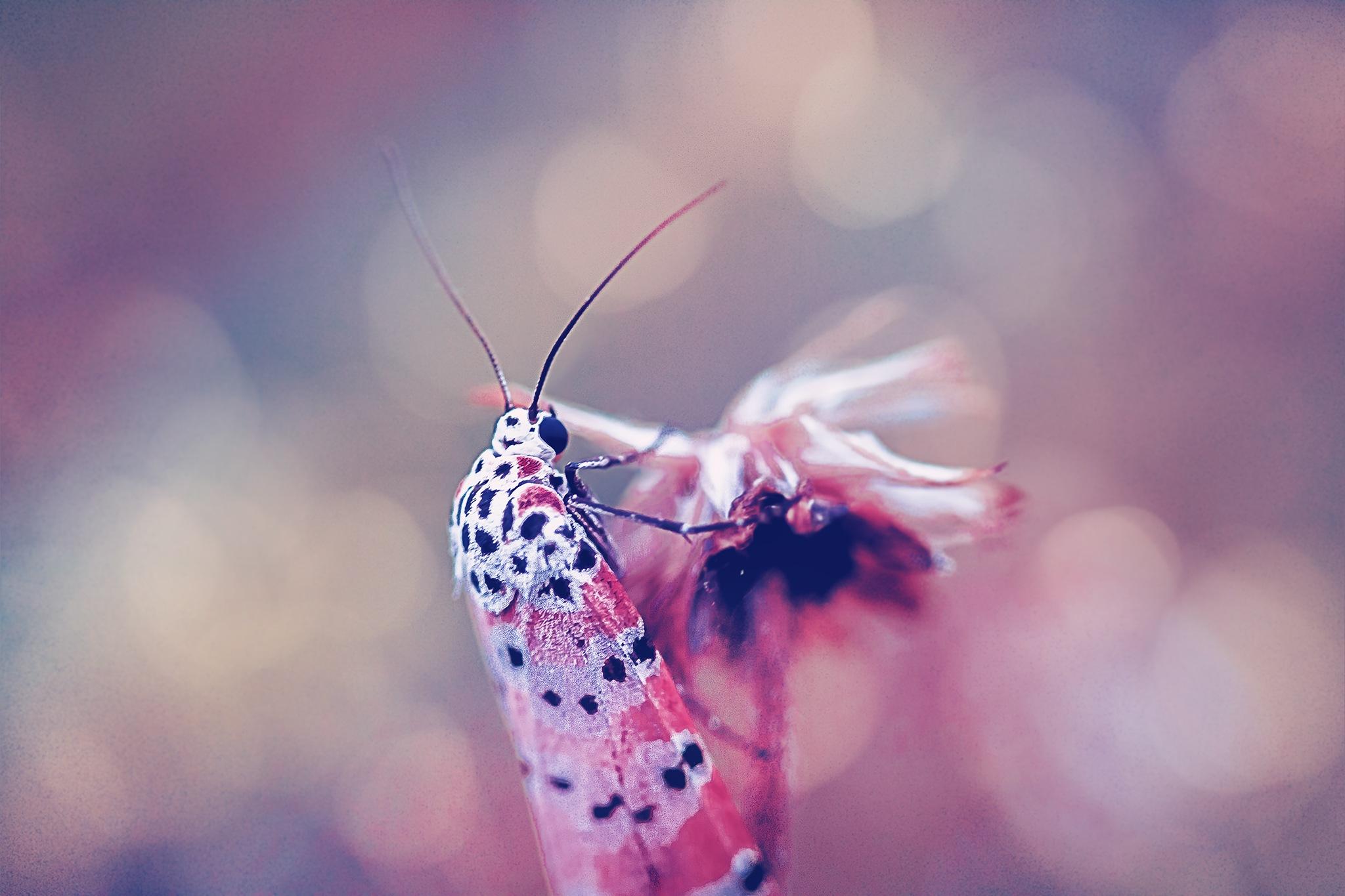 Moth 056-001 - Utetheisa bella by Tony Guzman