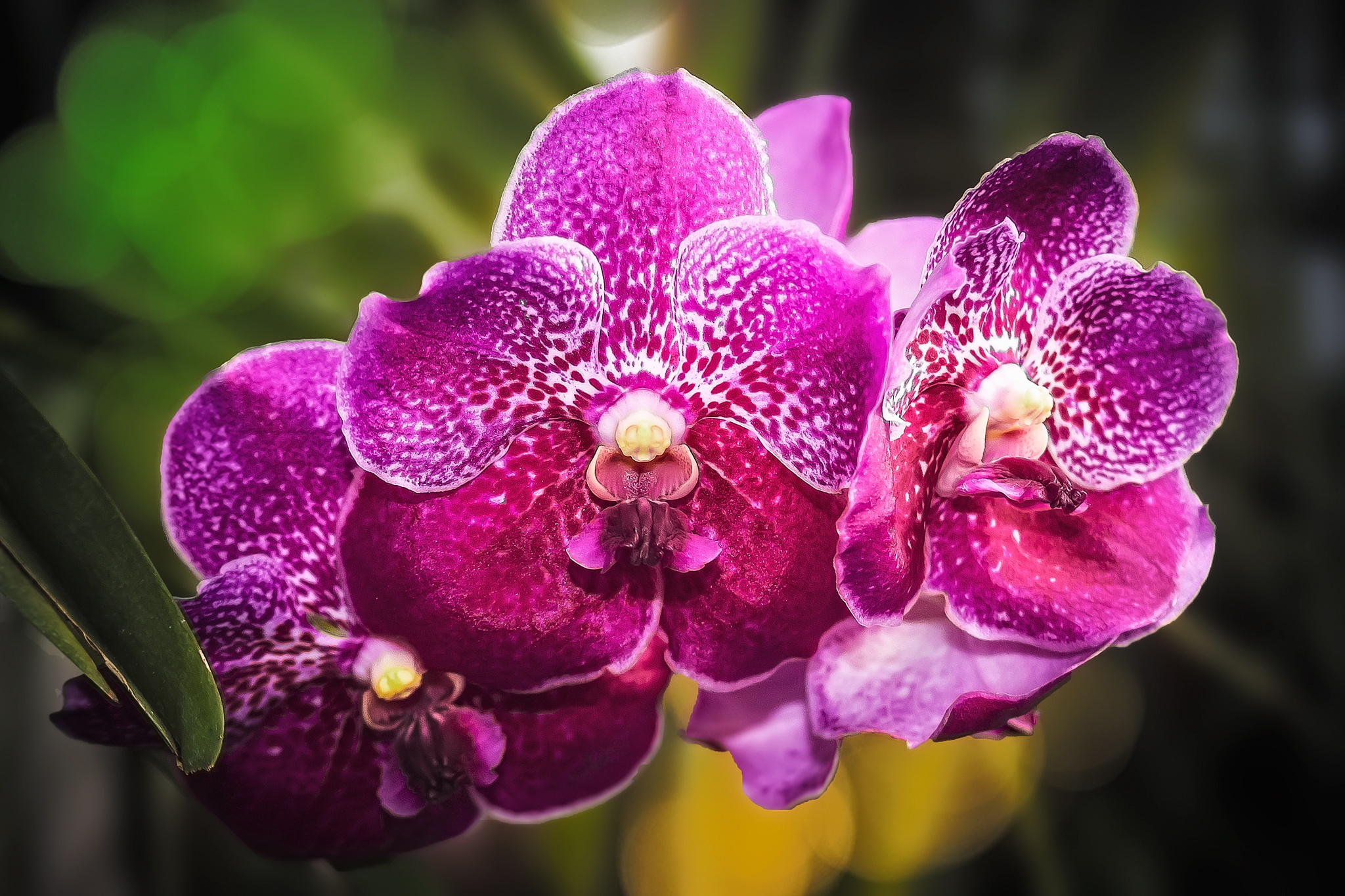 Orchids 21 by Tony Guzman