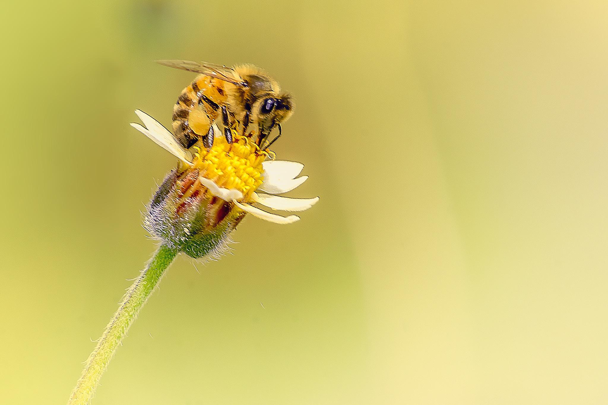 Bee on a Tridax 20 by Tony Guzman