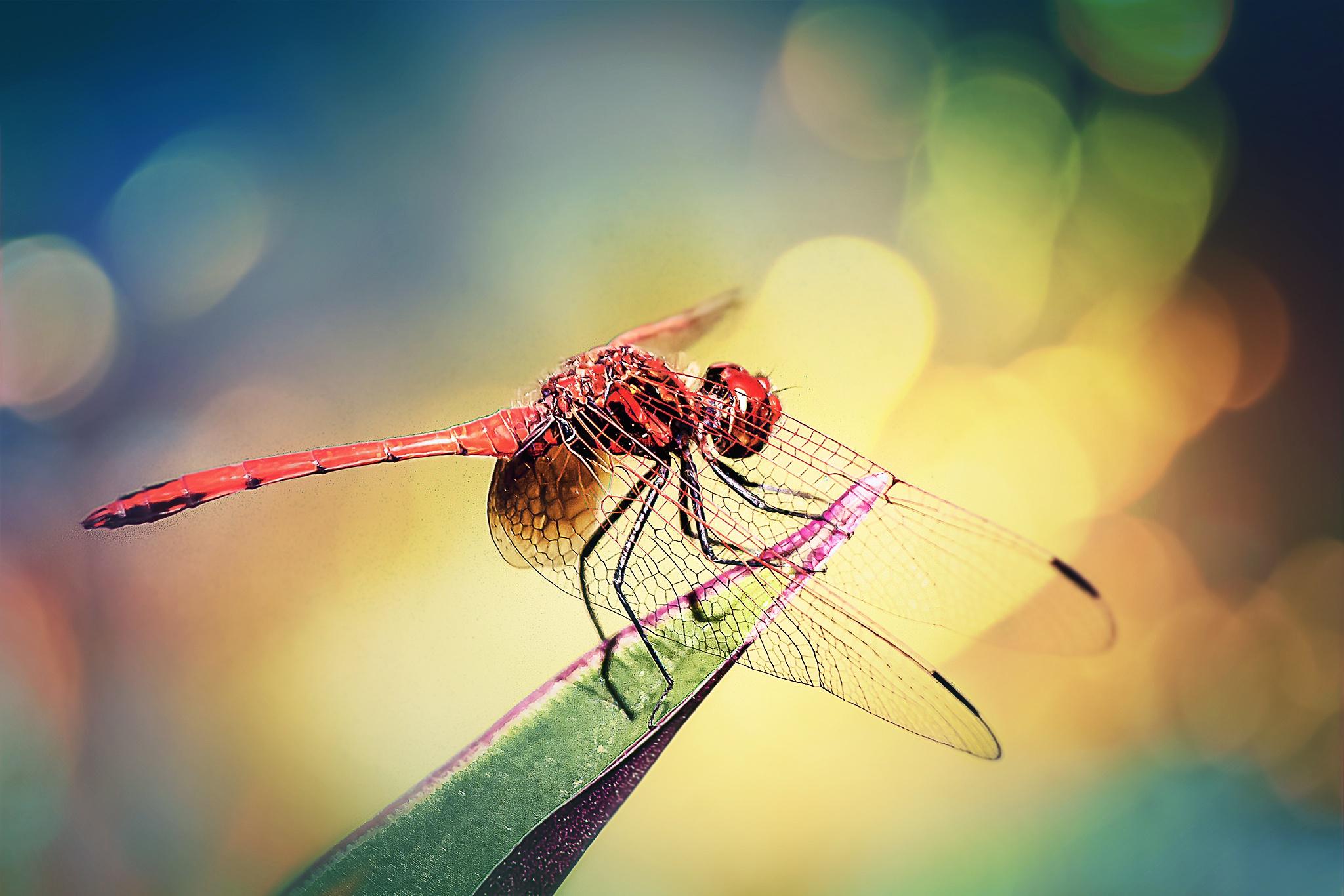 Red Dragonfly 100 by Tony Guzman