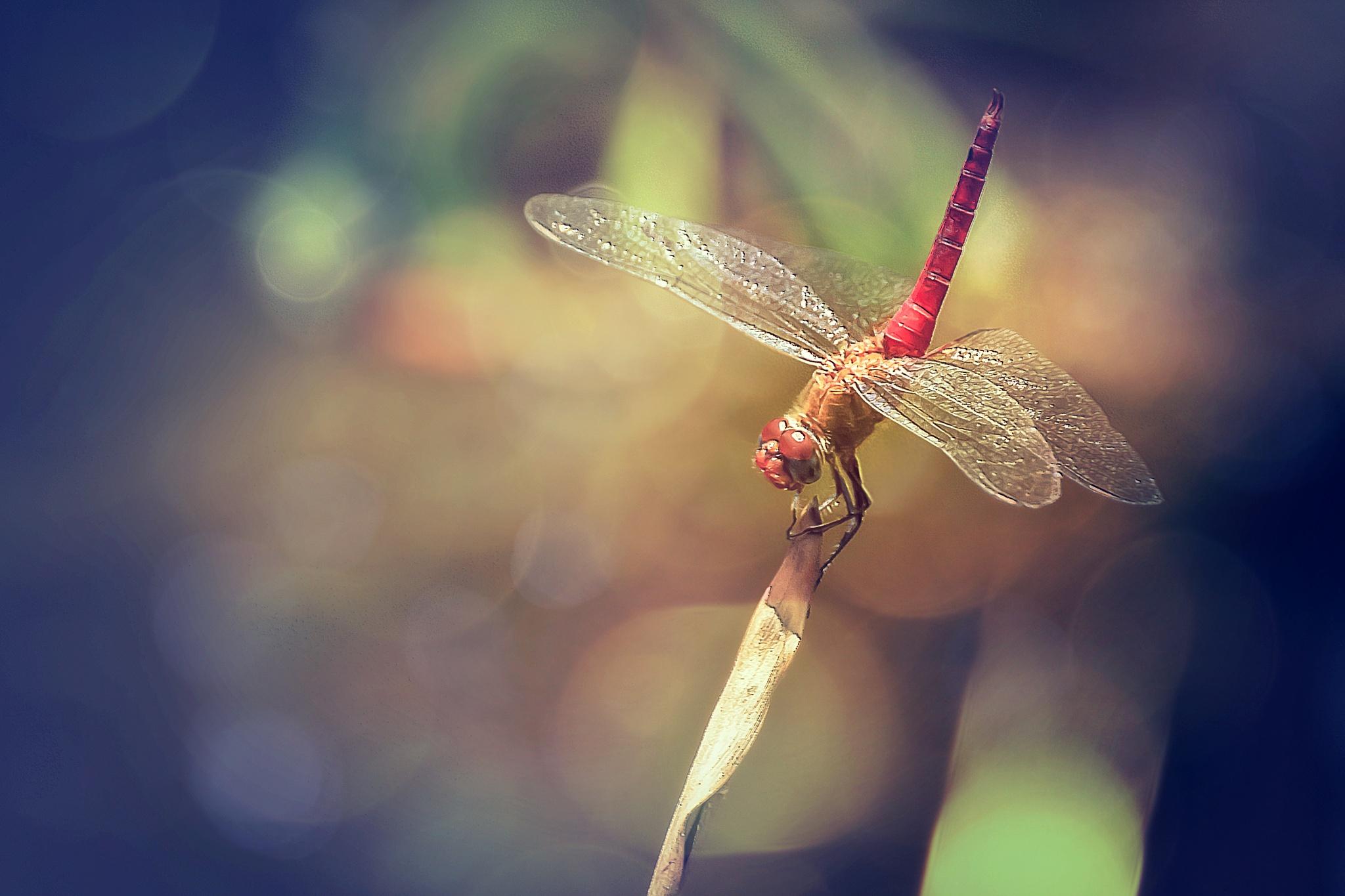 Red Dragonfly 101 by Tony Guzman