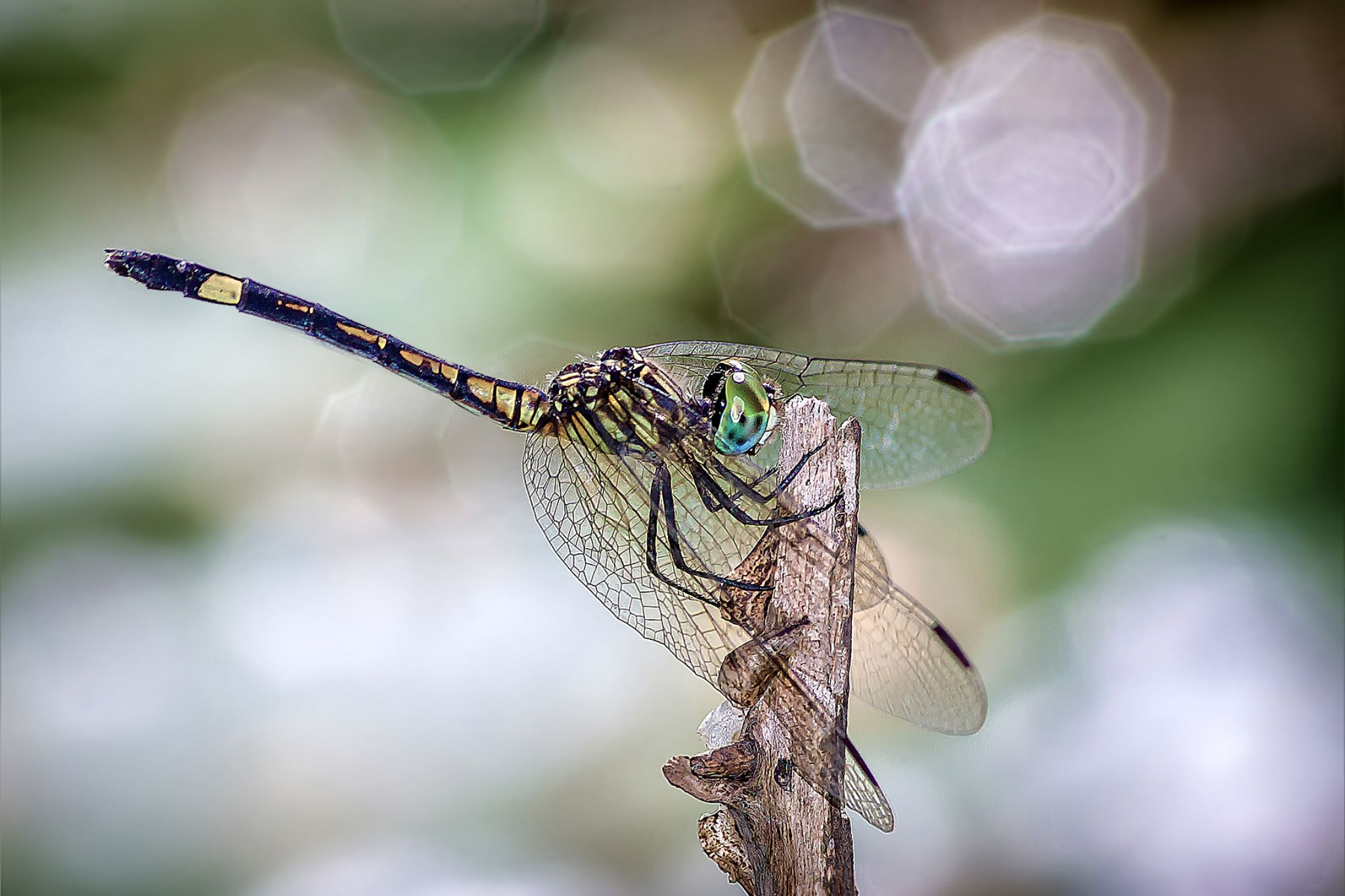 Green Dragonfly 02 by Tony Guzman